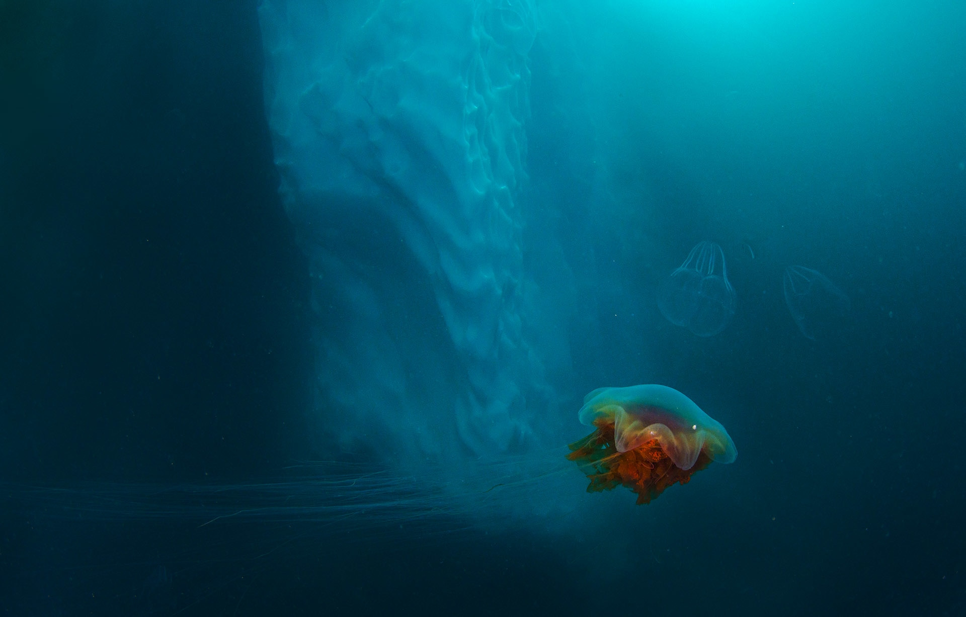 There are generally few life forms around icebergs, as the temperature is very low and the ice doesn't have much nutrition to offer. But there are jellyfish, says Dhritiman. Some, like this lion's mane jellyfish, have tentacles that are over a hundred feet in length, making it longer than the blue whale.