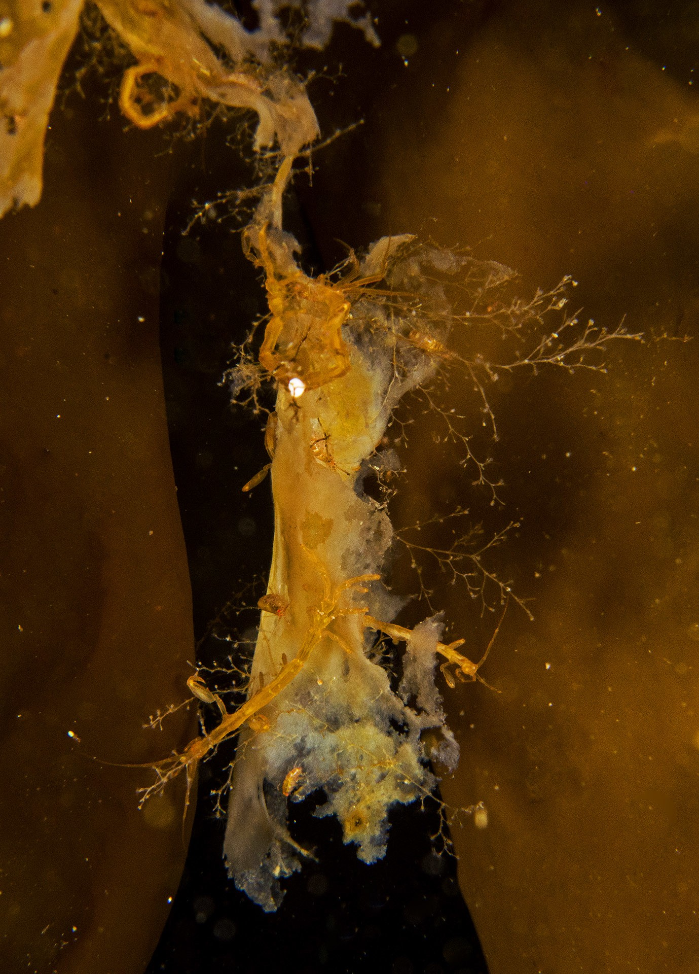 The ghost shrimp, also called skeleton shrimp, is one of Greenland's more reticent inhabitants. Each shrimp measures about 4 cm, and has a transparent, glass-like quality that inspired its name. It is often sighted snacking on kelp, its primary food source.