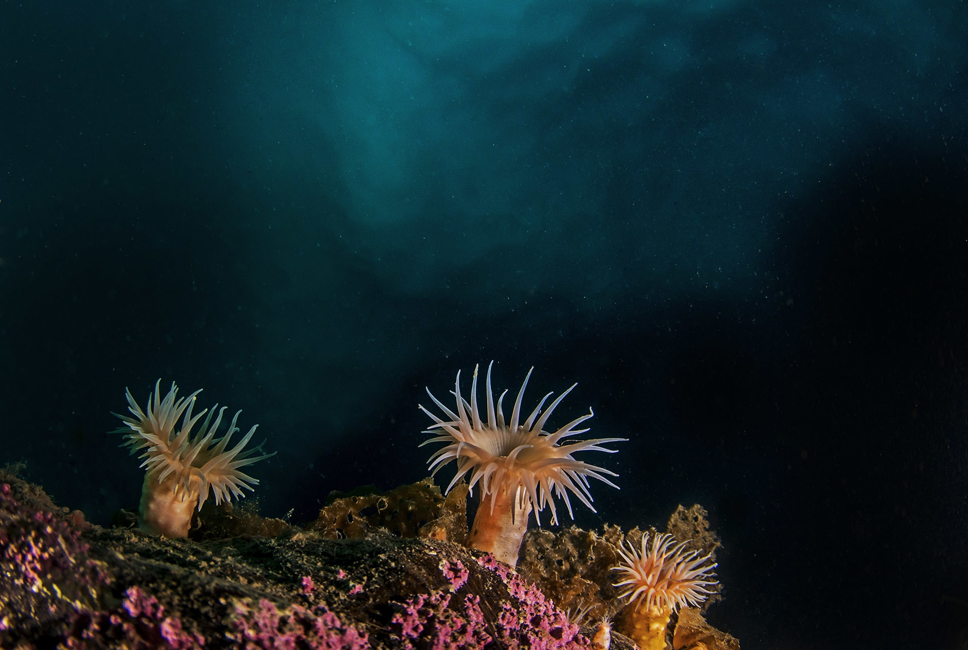 Farther down, in areas free of iceberg disturbance, corals and anemones add daubs of colour to the inky palette. Contrary to popular belief, the Arctic Ocean floor supports a healthy diversity of marine life, ranging from nudibranchs, sea snails, and sea slugs, to species of shrimp and fish.