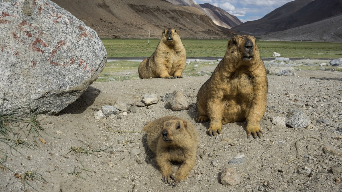 """Marmots are very social. They live in colonies, """"with anywhere between 2 and 15 inhabitants,"""" says Rajamani. """"In some cases, it is easy to distinguish one colony from another, but in other cases, colonies really seem to run into each other."""" Watch them long enough, Rajamani says, and """"you'll begin to notice that some animals approach each other, touch one another, and engage in grooming. This is how we establish that they are members of a single colony."""" Photo: Supakorn Thammasiri/Shutterstock"""