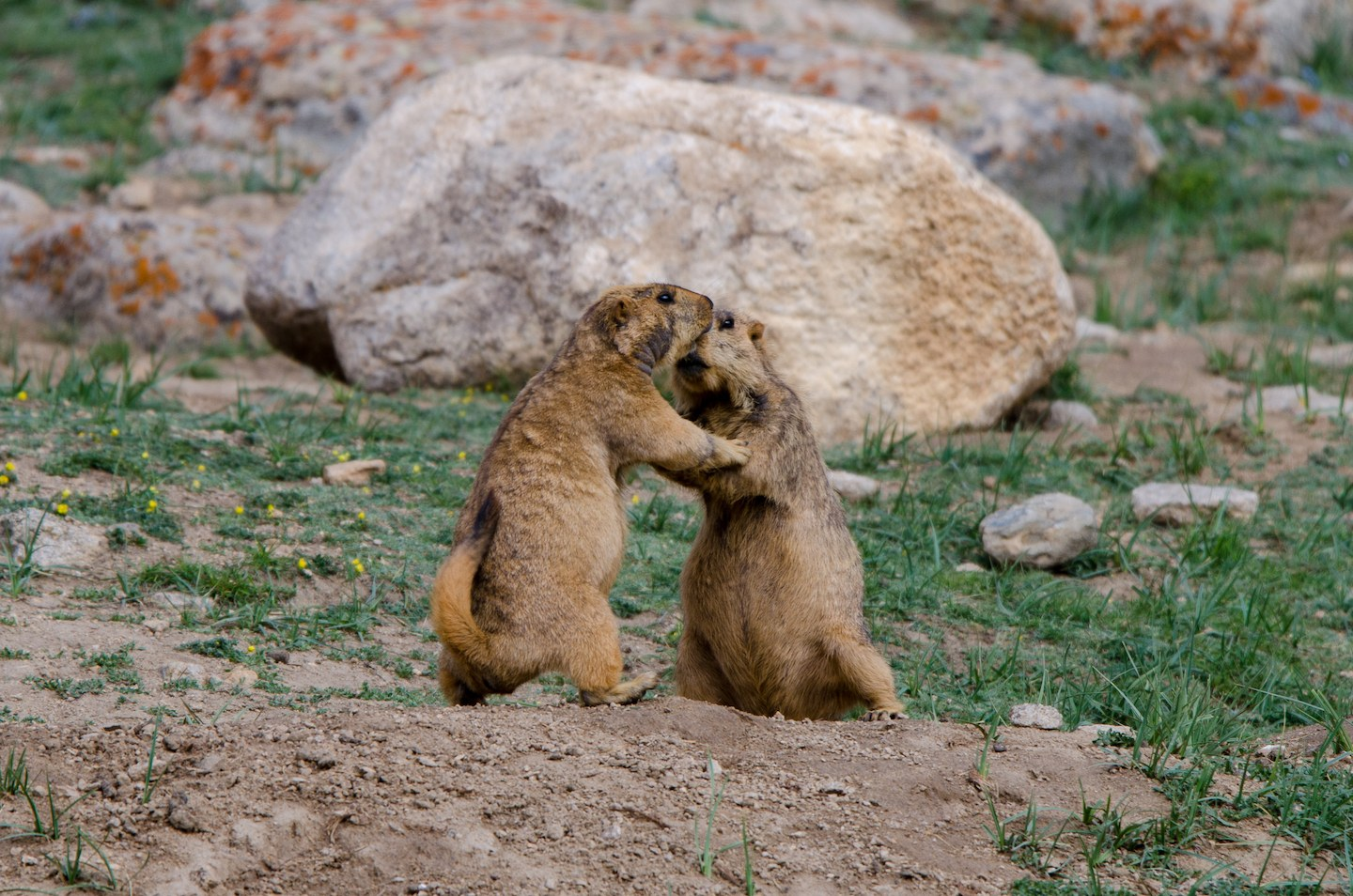 "Both male and female marmots engage in wrestling to establish dominance, says Rajamani, and interactions can vary in intensity. ""It is mostly play with young ones, but the larger the animals, the more serious the consequences."" Males for instance, display aggression when members of other colonies approach their territories, while females might display territorial behaviour after they have given birth to a litter. Photo: Saurabh Sawant"