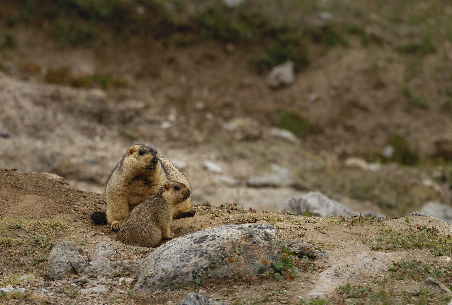"Young Himalayan marmots are born around end-May or June, and remain underground for a few weeks. They emerge from their home burrows around end-July, but stay close to their mothers for the first year. Males are around at this time, but do not actively participative in parenting. Marmots live in colonies and have an excellent lookout system to prevent their kin and friends from becoming food for predators such as dogs, foxes, snow leopards, and raptors. ""Marmots have a distinctive alarm call, and will sometimes continue to call for half an hour after they see a predator,"" says Rajamani. Photo: Shivang Mehta"