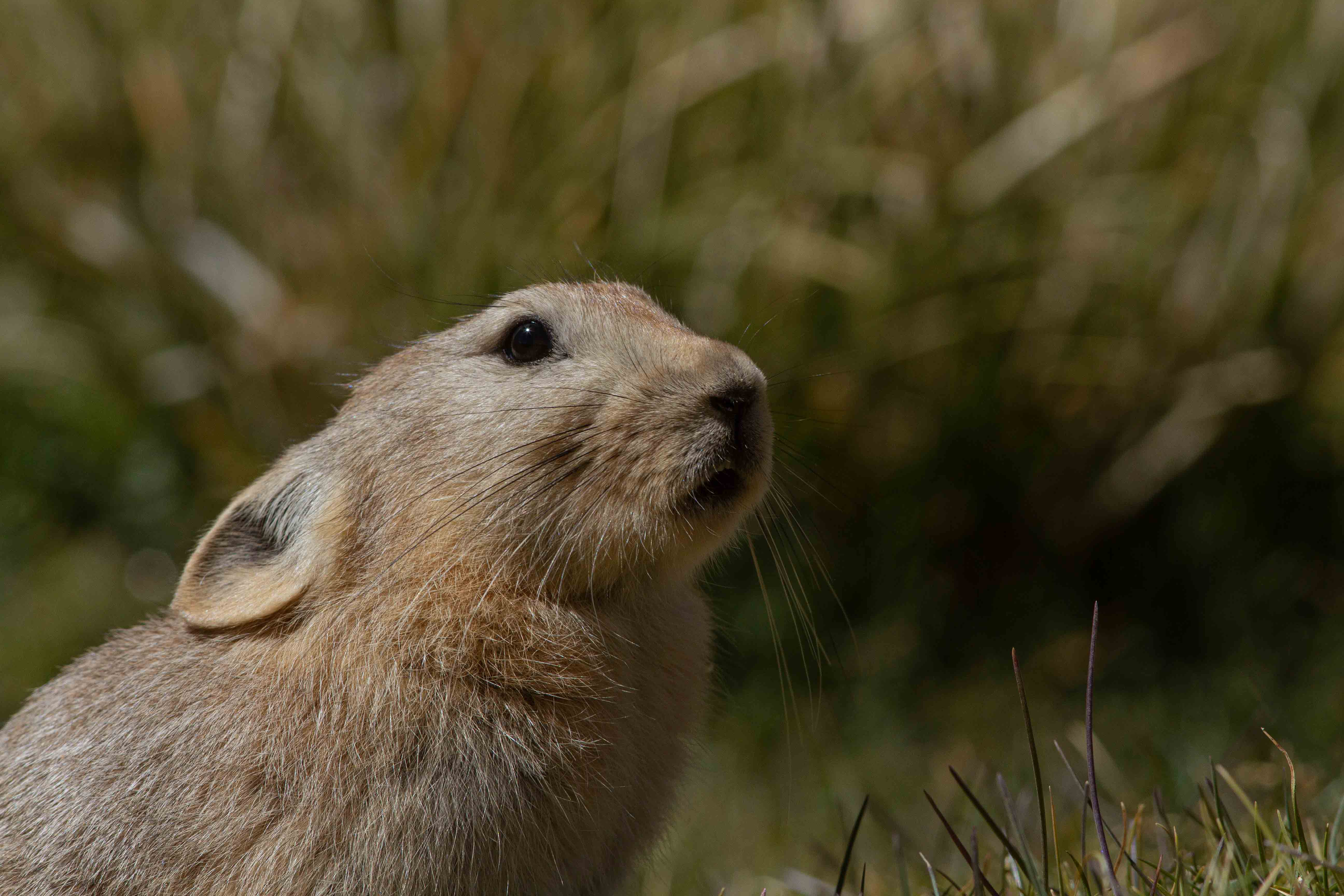 The Ladakh pika has soft rufous-fawn-coloured fur, which is thick during the bitter winter months, and thins out in the summer. Photo: Shivang Mehta