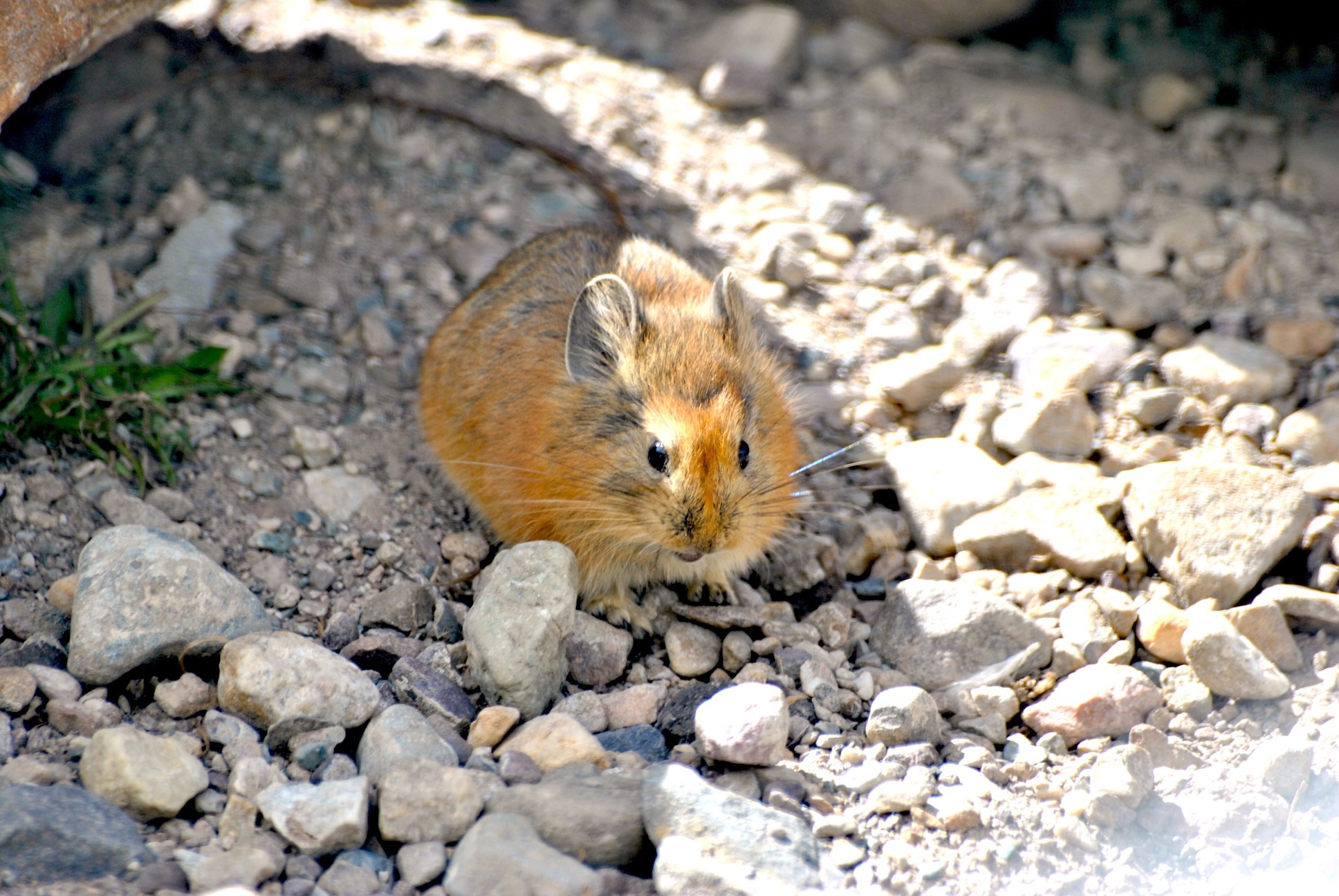 Pikas are highly adaptable and may be found in taluses (rock-strewn slopes), in alpine pastures, roadside rock debris, or human-made rock walls. A Royle's pika is seen here beside a road in northern Lahaul, Himachal Pradesh.