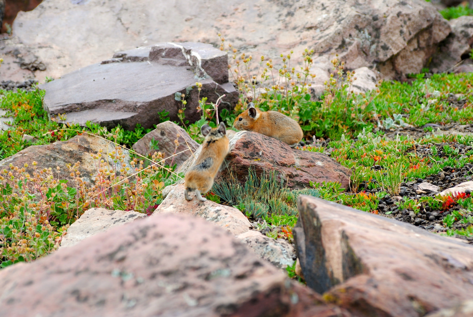 Two Royle's pikas play with each other in their favoured talus habitat, near Chandra Tal in the Upper Chandra Valley, Lahaul, Himachal Pradesh.
