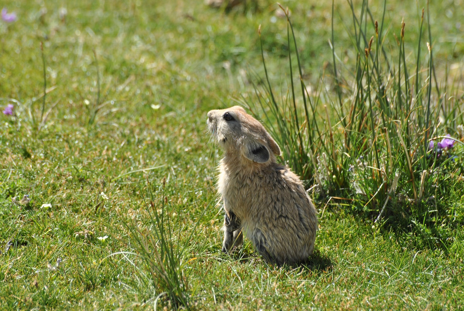During the summer pikas have lighter fur that turns dense and thick to brace for the extreme winter. A lone individual of plateau pika recovering from swimming in a cold Trans-Himalayan torrent.