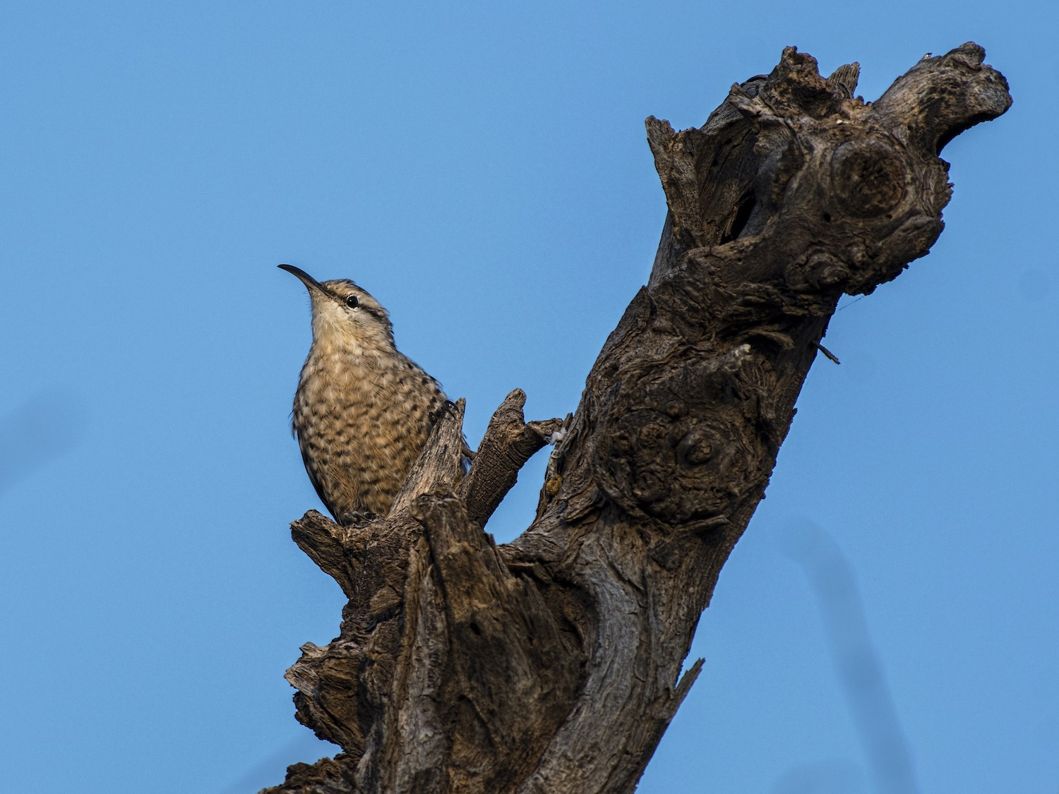 The Indian spotted creeper usually begins foraging from the base of a tree, climbing upwards, before flying to the next tree. Photo: Arpan Saha  Endemic to India, the spotted creeper is found in dry regions of the country. 