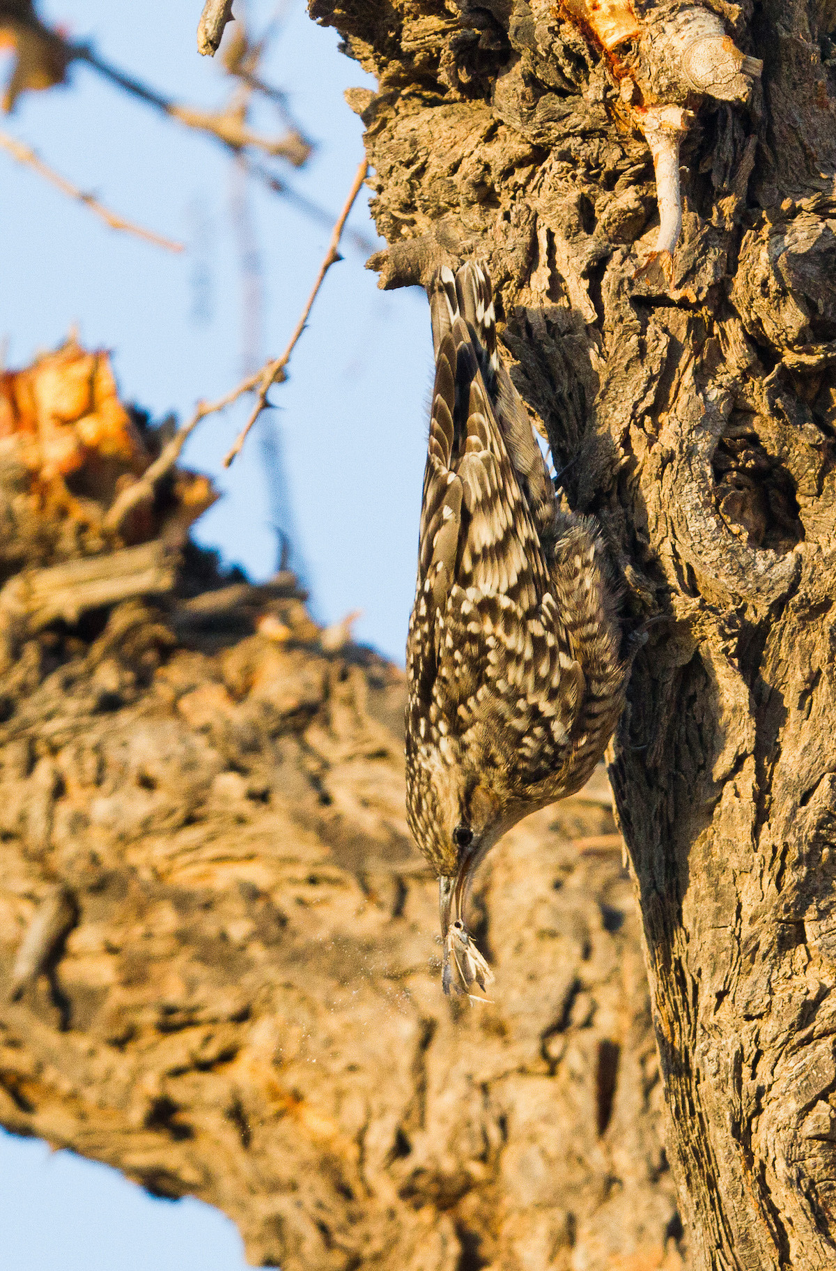 The Indian spotted creeper spends most of its time on trees, foraging in nooks and crannies for small invertebrates. Photo: Puneetcps CC BY-SA 4.0