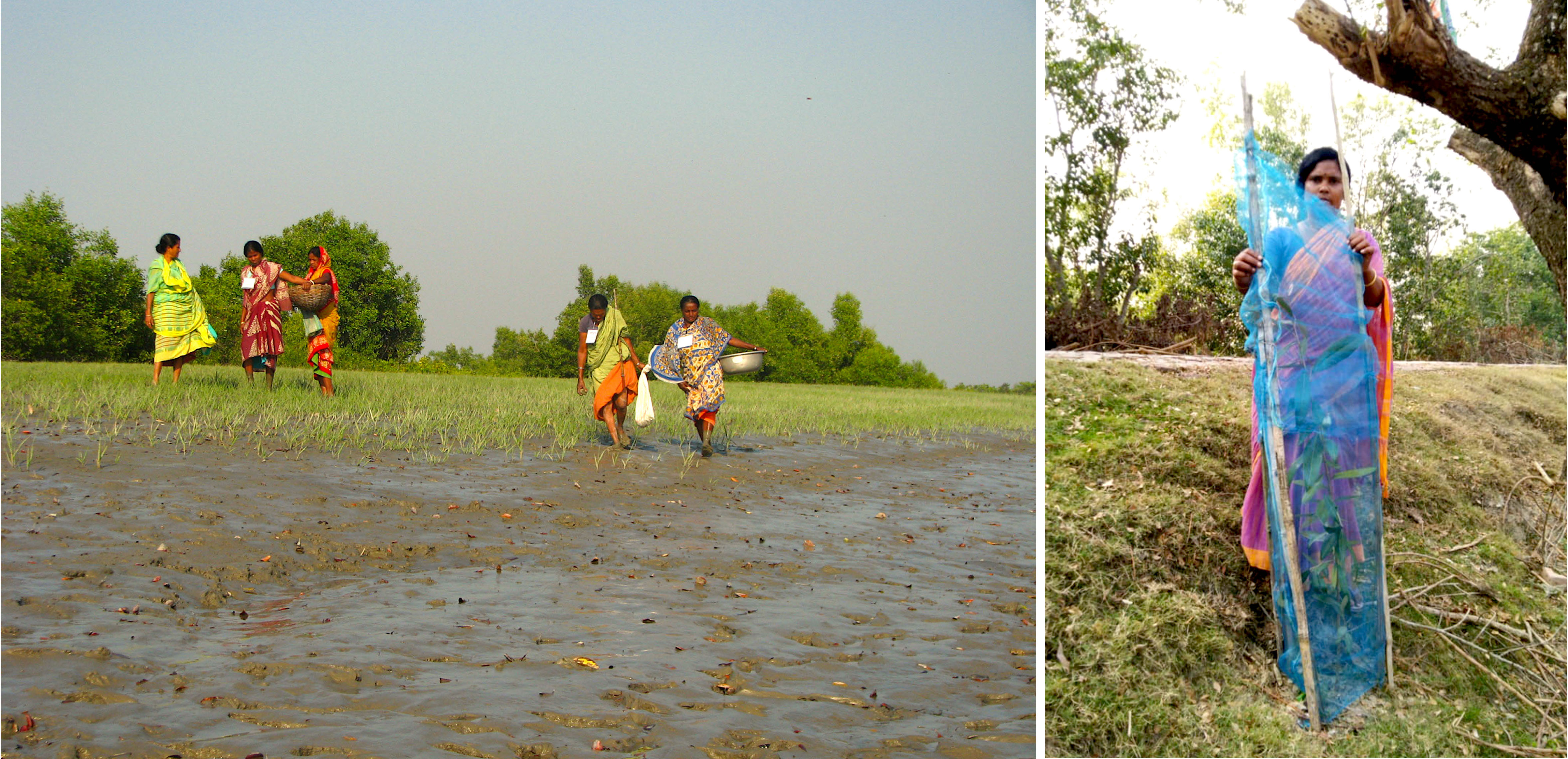 Women from Annpur, Patharpara, and Rajatjubilee on Gosaba island are leading efforts to revive the Sundari tree by planting saplings on vacant land outside their villages. They fence off the saplings with bamboo strips and net fencing to protect them from grazing cows and goats.  Photos: Moushumi Basu
