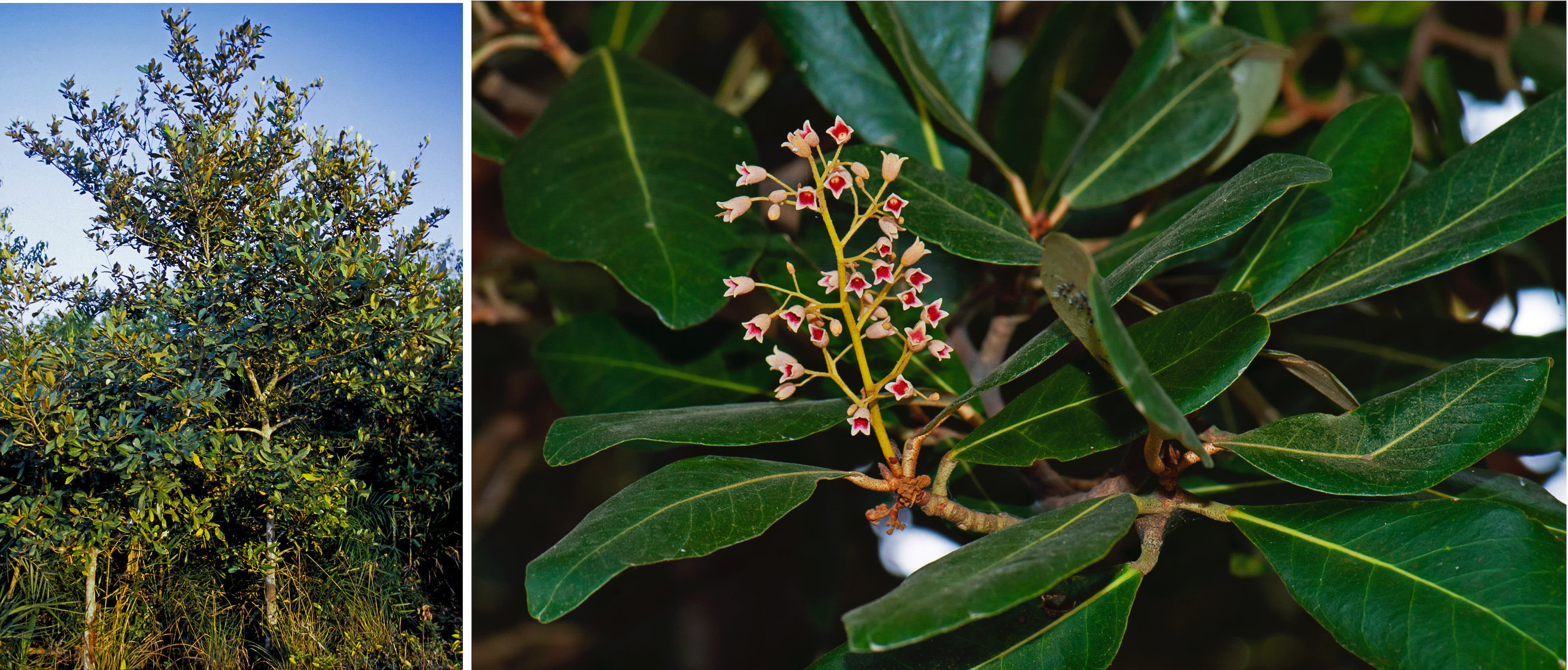 Sundari trees are adapted to thrive in areas with a specific salinity. The tree (left) can grow up to a height of 25 m, has elliptic leaves, and flowers which bloom in March-April (right). Photos: Dhritiman Mukherjee