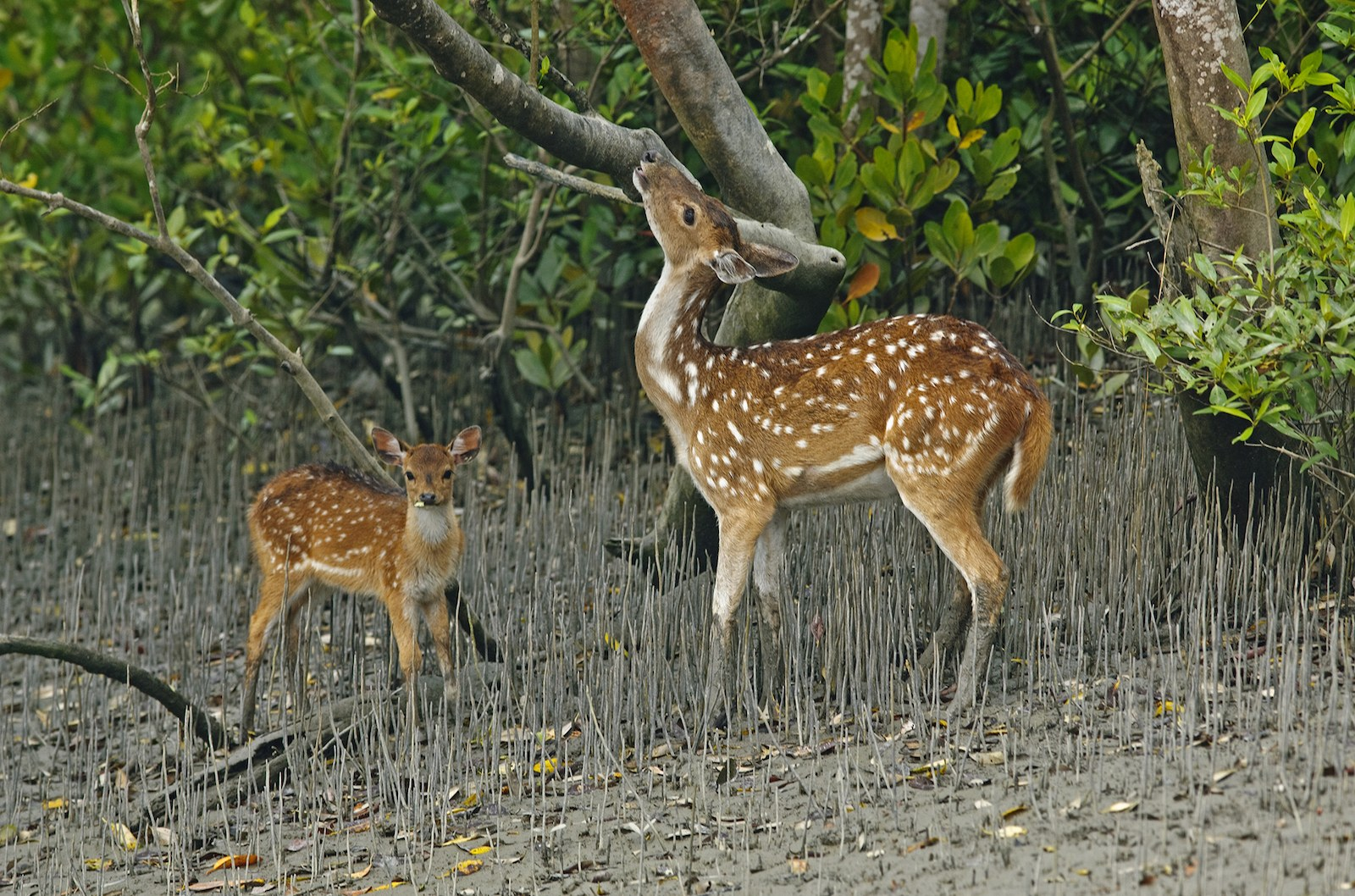 When the tide recedes, spotted deer saunter towards the banks of islands to feed on fresh leaves of mangroves such as Keora and Dhundhul.
