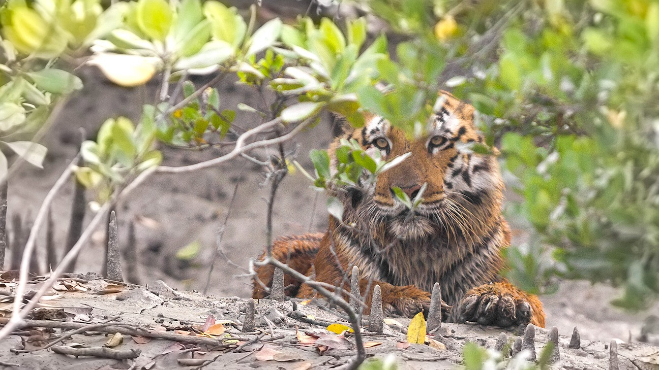 A dominant male tiger sits around the aerial roots of a mangrove. These roots that stick out of the mud like spears often cause them serious injuries. Photo: Soumyajit Nandy