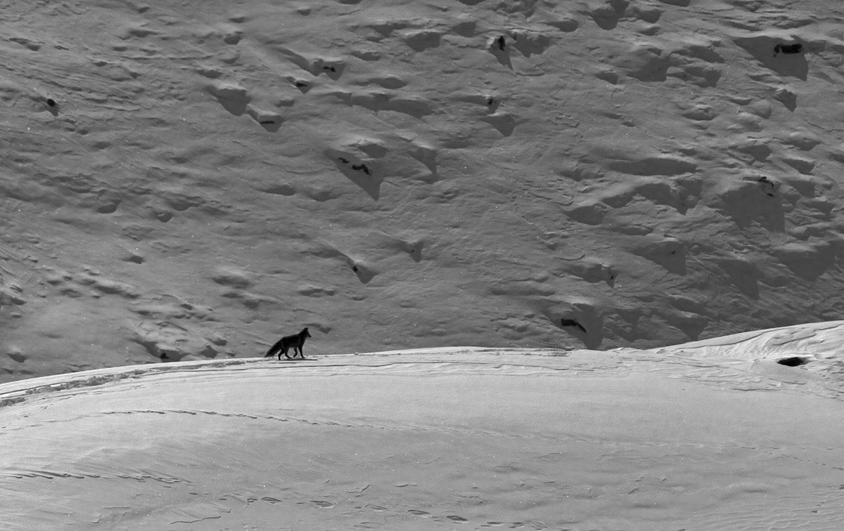 """The colder it gets, the less vegetation and wildlife there is, and the more the foxes have to rely on human subsidies. In the peak winter, says wildlife biologist Subhashini Krishnan, """"they are often found near garbage dumps, looking for food."""" Krishnan, who studied the relationship between red foxes and free-ranging stray dogs in India says, """"They capitalise on the darkness, visiting between 9-11 pm and 3-5 am,"""" when activity in the village is at a minimum."""