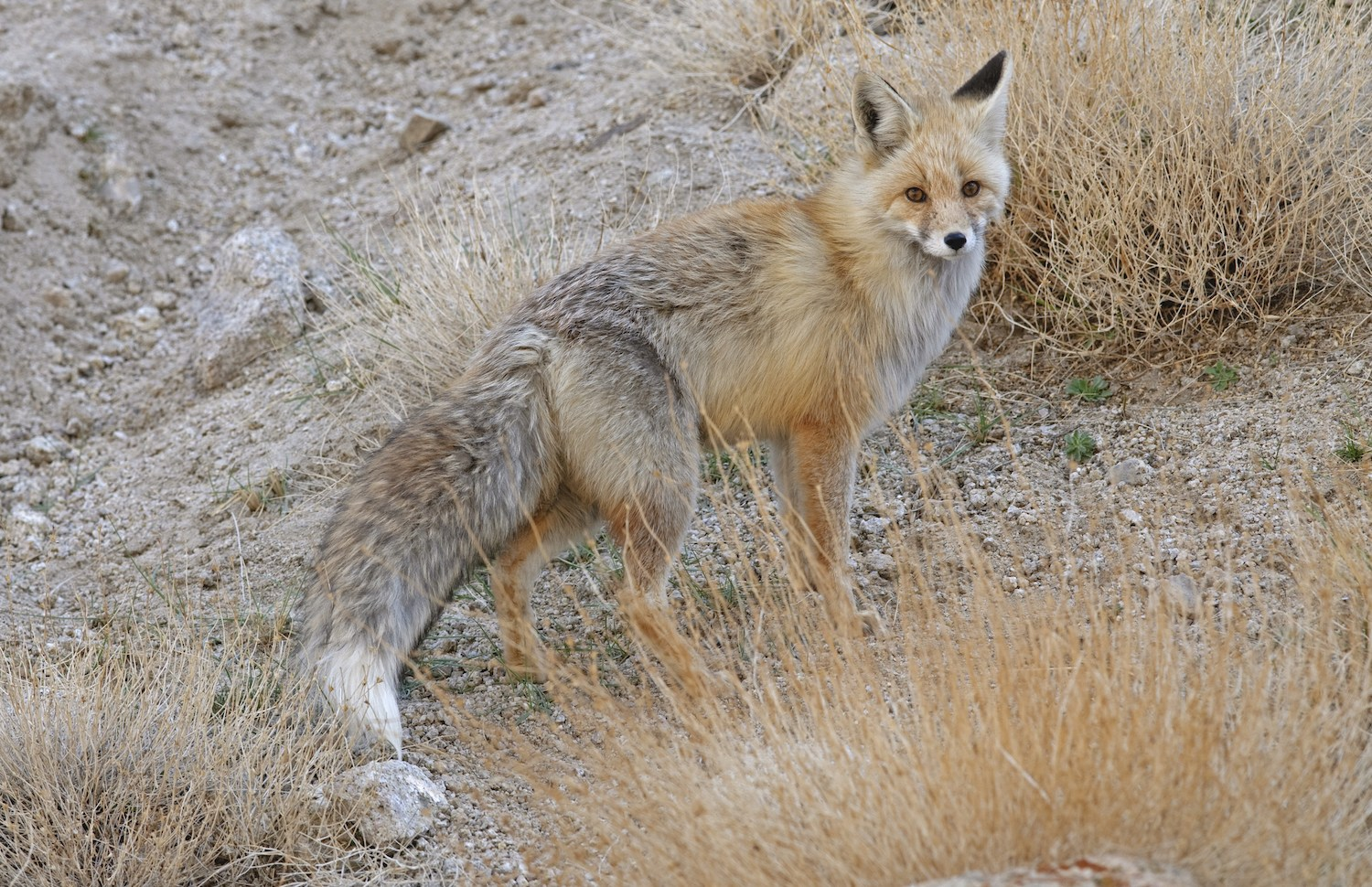 Red foxes have beautiful, bushy tails, with a signature white patch at the tip. The tail helps with balance, and keeps them warm during long, cold nights. Himalayan red foxes have much thicker fur than their desert fox cousins from Gujarat and Rajasthan.  The red fox (Vulpes vulpes) is found in a range of habitats, from isolated mountain regions in the Himalayas, to more urban areas, like Hyde Park in London.