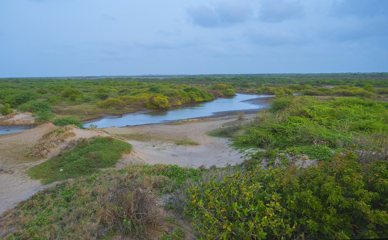"The coastal parts of Point Calimere sustain numerous species of halophytes, plants that can tolerate high levels of salinity in the water. Sometimes called, ""mangrove-associates"", these plants reduce salt levels in the soil, making it possible for mangrove species to grow and thrive. 