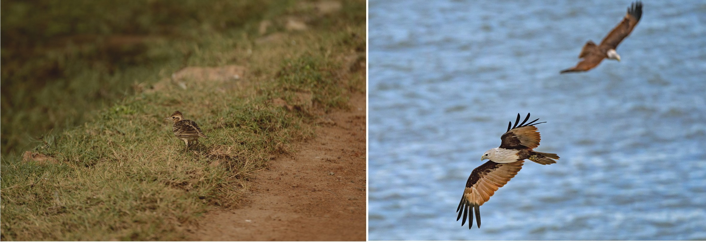 There is promise of sightings in all directions. Look up, and you might catch a brahminy kite (Haliastur indus) hunting for prey, while closer to the ground, smaller species such as the oriental skylark (Alauda gulgula) can be seed foraging for seeds and bugs. Photo: Dhritiman Mukherjee (left), P. Jeganathan CC BY-SA 4.0 (right)