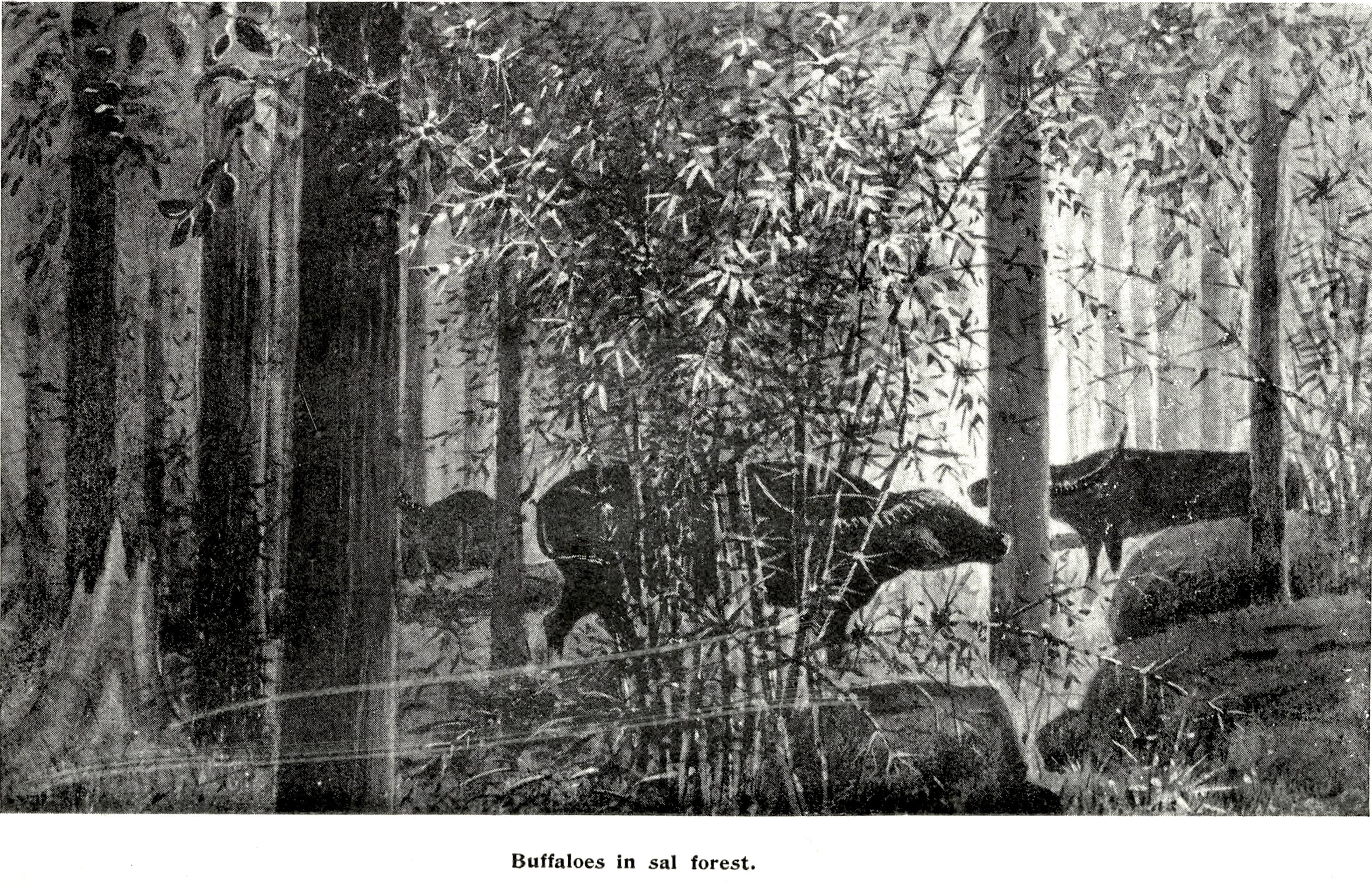 The British officer Captain Glasfurd authored three books on his hunting experiences in Central India at the turn of the 20th century. He used to hunt wild buffaloes in the Bastar forests and often sketched what he saw, such as this herd in a sal forest. Sketch: A.I.R Glasfurd, (Leaves from an Indian Jungle, 1903)  Central Indian wild buffaloes are one of the rarest, largest, and hardest to spot wild bovines of the world. Unlike their Assamese brethren that are believed to have suffered some genetic dilution, these buffaloes of the sal forests of Central India are believed to be world's last genetically pure population of wild buffaloes. Cover Photo: Arindam Bhattacharya