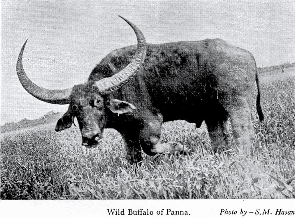 The lone, misplaced wild water buffalo, found near Panna in 1979, that set off decades of sundry speculation among biologists and conservationists about where it had come from. Photo: SM Hasan, first published 1979 in Cheetal, Journal of the Wildlife Preservation Society of India.