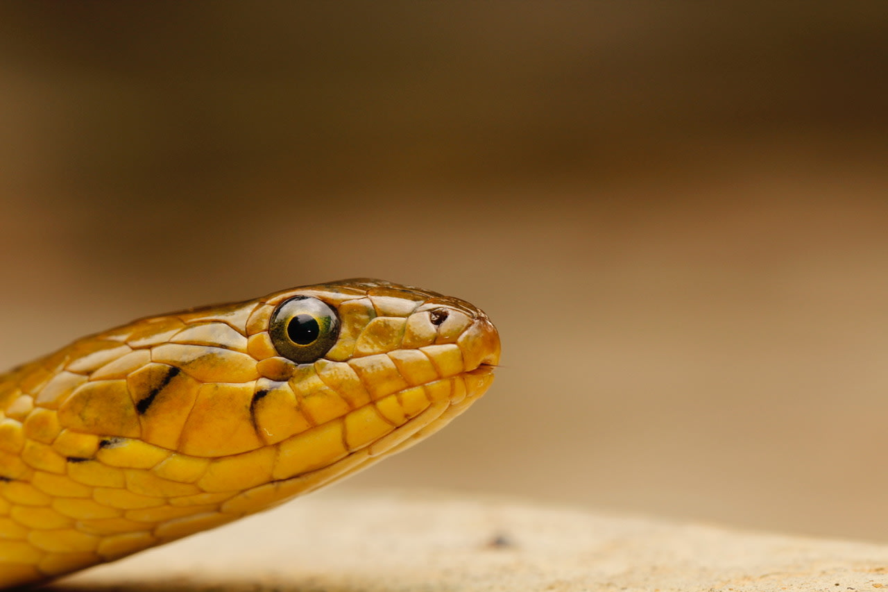 Checkered keelbacks hunt using their sharp eyesight. In some parts of India they have been observed occasionally hunting and mass feeding in coordinated groups. Photo: Gerry Martin  Active by both day and night, these semi-aquatic snakes are frequently seen near streams, lakes, ponds, rivers, and paddy fields. Cover Photo: Chayant Gonsalves -CC BY-SA 4.0