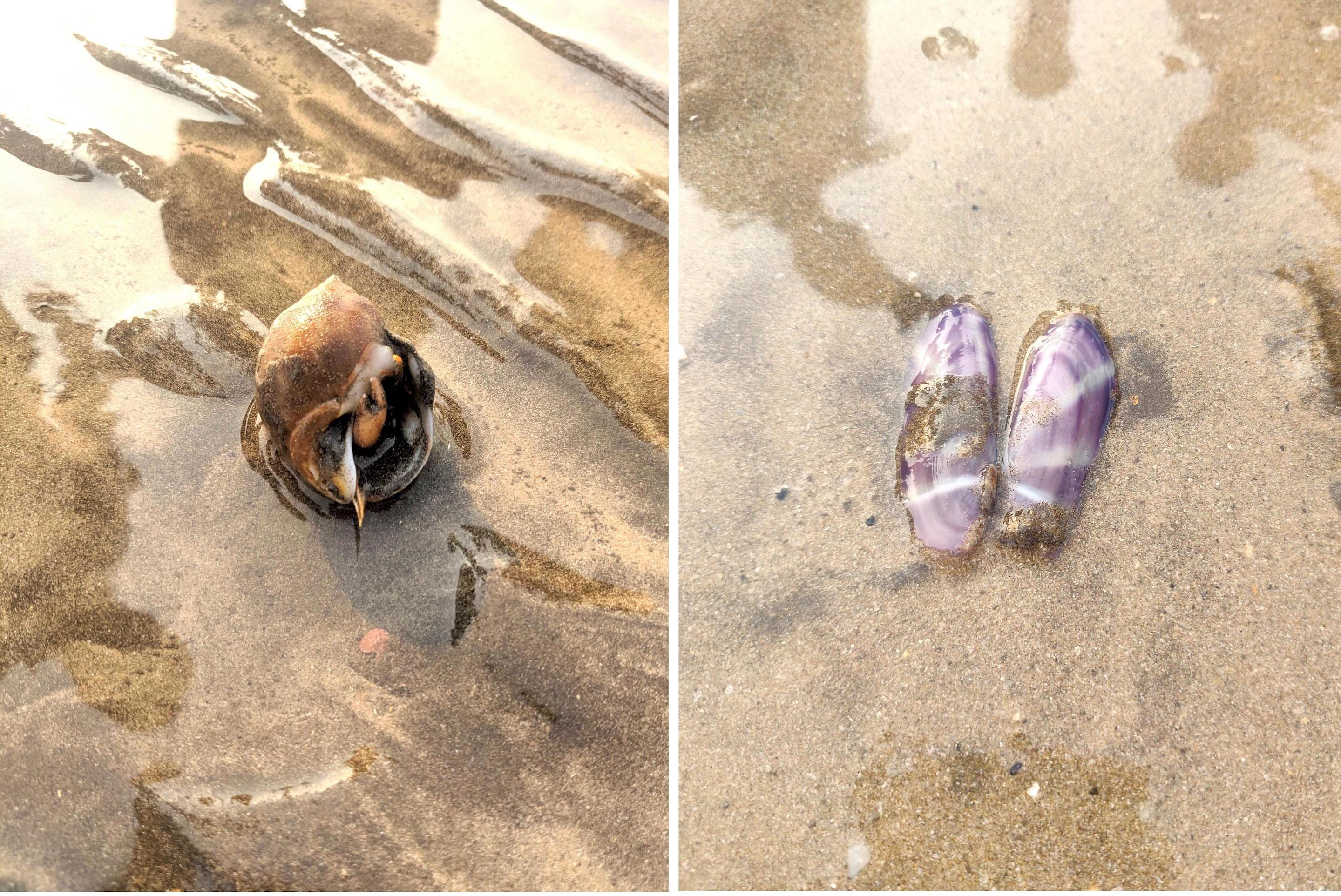 Caption: (Left) Hermit crabs are the most commonly found crabs on Mumbai's shores. They have an elongated soft abdomen with no protective covering and thus live in the discarded shells of snails. (Right) Sunset siliqua is a mollusc named because of the pattern of rays on its back. Photos: Joanna Lobo