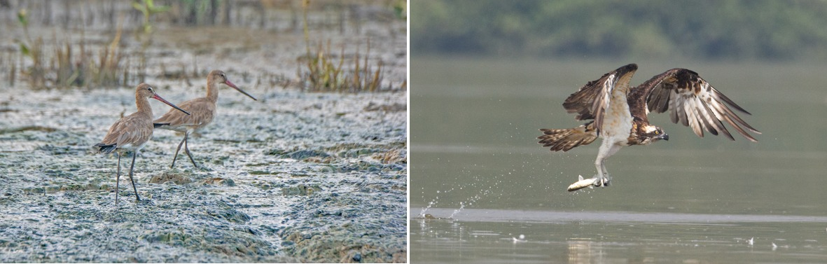 Black-tailed godwits (left) are a threatened species globally. They use their long bills to probe the mudflats for crabs, snails, and other invertebrates. A majestic raptor of the wetlands, the osprey (right) is a specialist in catching fish. Its feet (which have tiny barbs on the underside) and talons are designed to hold on to its slippery prey. Photos: Shashank Birla (left), Aseem Kothiala (right)