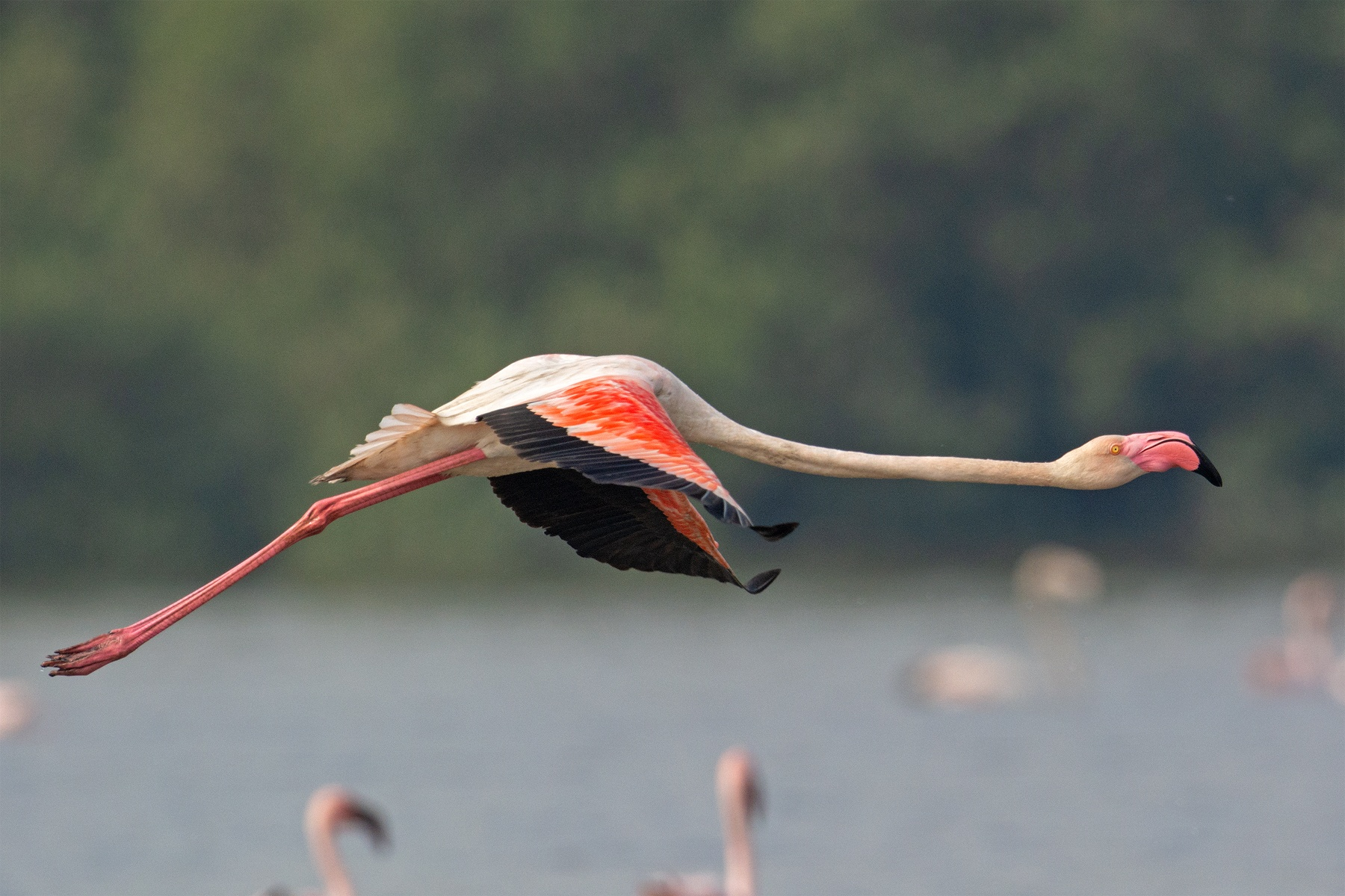 Greater flamingos are identified by their large size, pale body, and pink bill tipped with black (completely dark in the case of the adult lesser flamingo). Photo: Aseem Kothiala