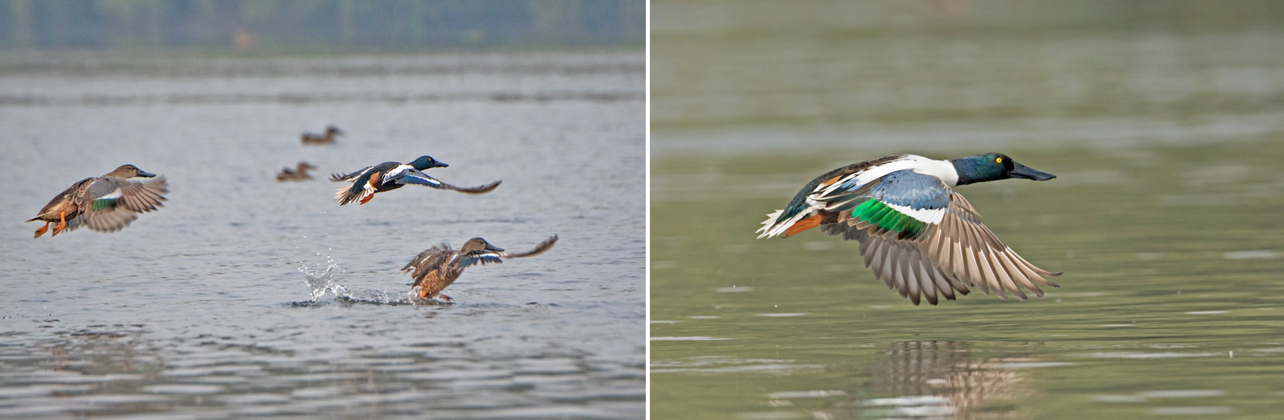 A comparatively large flat bill gives northern shovelers their name. These migratory ducks inhabit northern Asia and Europe during their breeding season. Large congregations are often seen in the waters surrounding Thane Creek in winter. Photos: Shashank Birla (left), Aseem Kothiala (right)