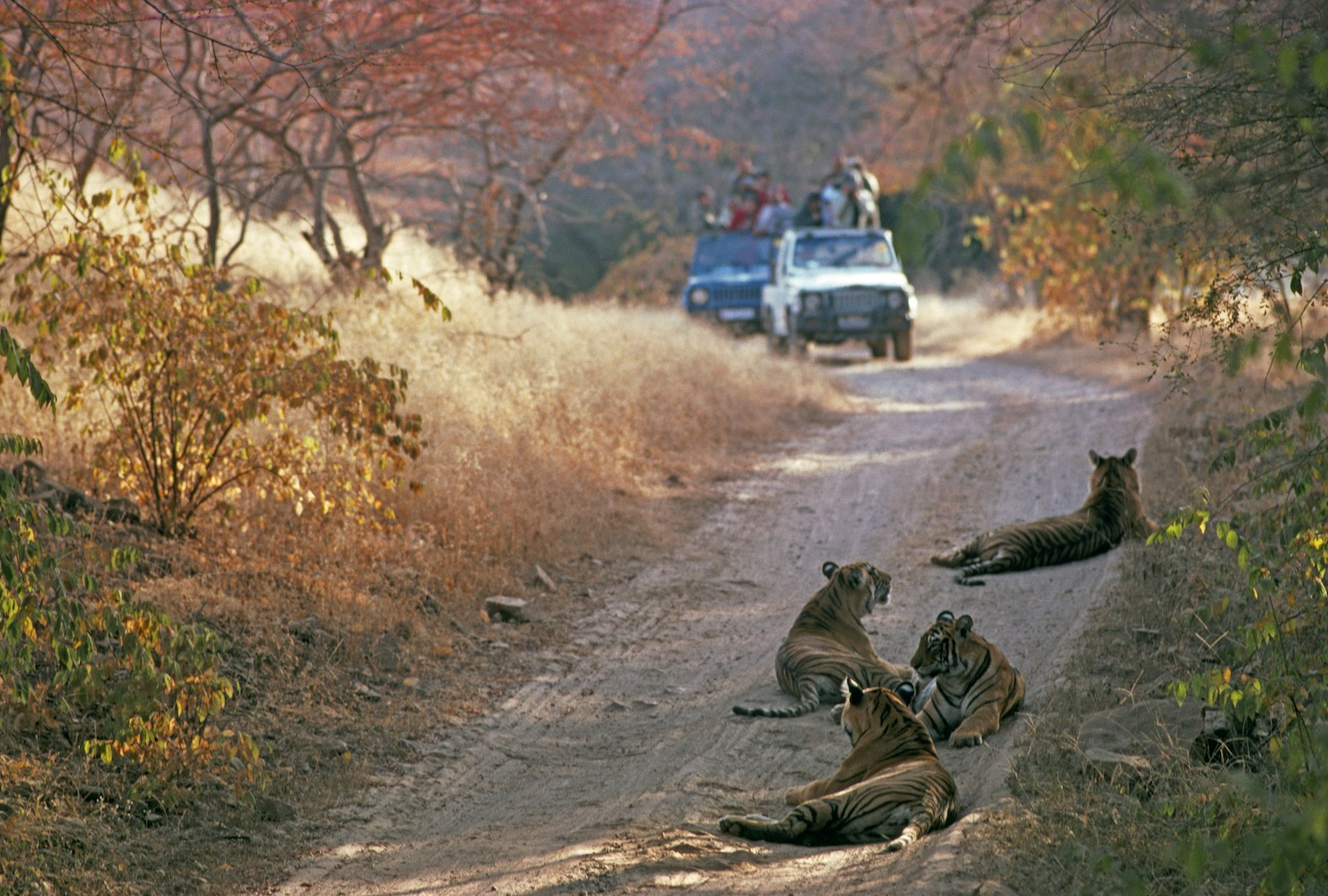 There are very few places to see tigers in the wild and world attention is focussed on a few premier tiger reserves (like Ranthambore above). We need 30-40 more places like this in India. Photo: Joanna Van Gruisen