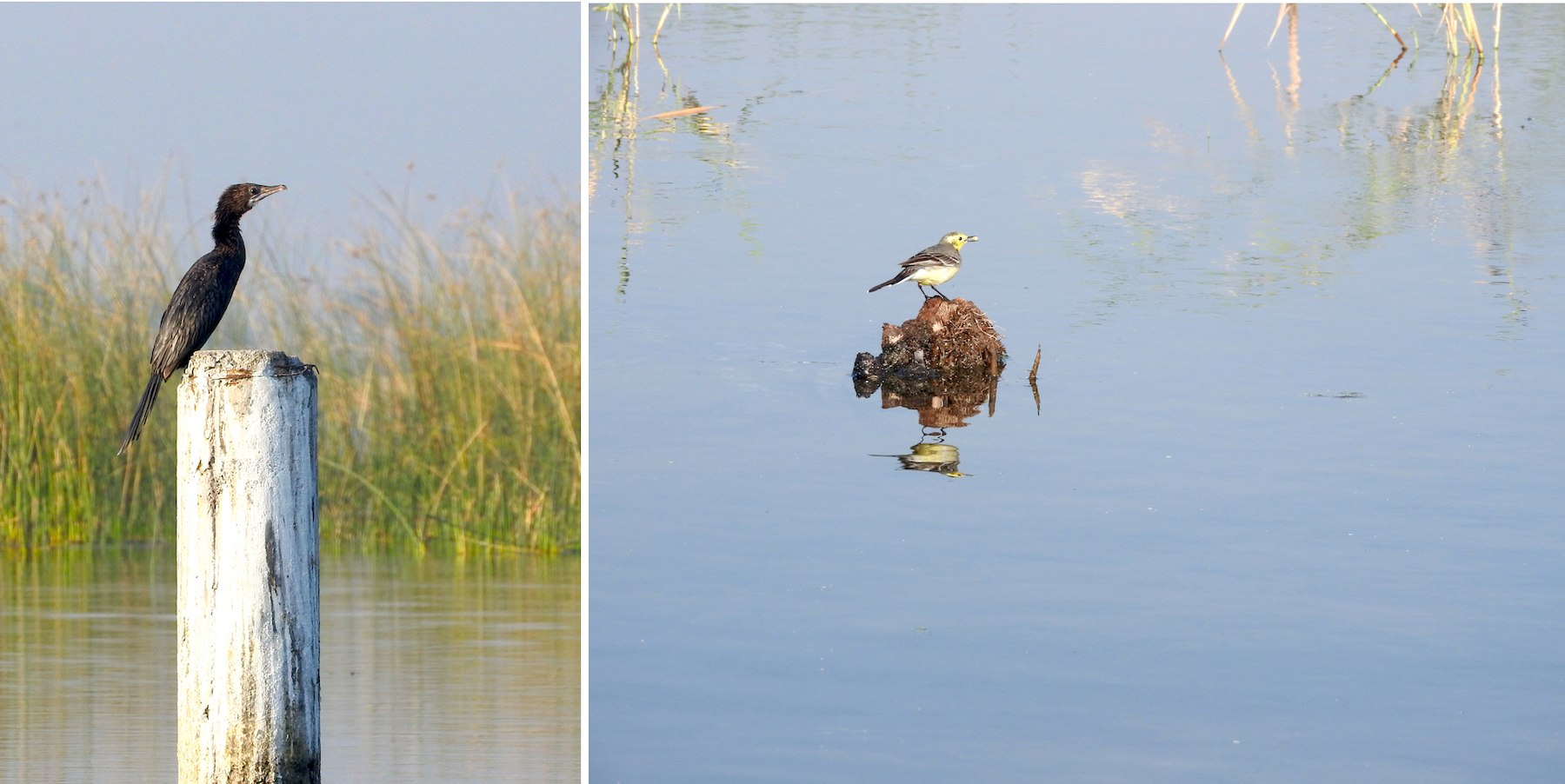 The little cormorant (left) soaking up some sun on a wooden stump is a common sight along the lake. Compared to calm and composed cormorant, the yellow wagtail is a lively bird, constantly wagging its tail and chirping in high-pitched notes. (right). Photos: Charukesi Ramadurai