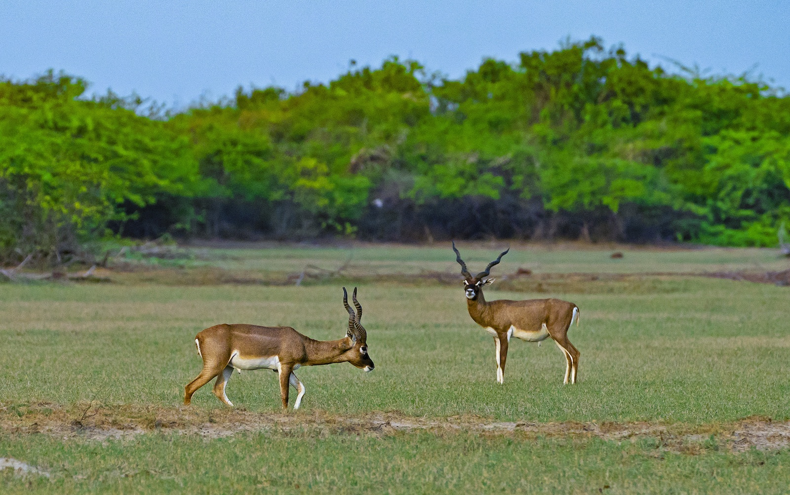Blackbuck move in small herds, the size of which depends on availability of forage and habitat. Cover: Blackbuck are fantastic runners and can clock up to 80 kmph. These lean and sinewy 2-3 year-old males exude grace and beauty.