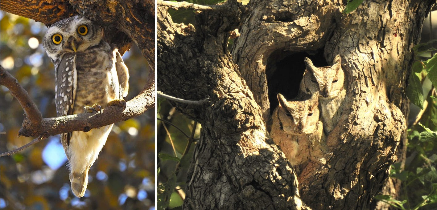 Though these owls are nocturnal, they are occasionally seen resting on tree branches or hollows during the day. Disturbed from its slumber, a curious spotted owlet (left) engages in a staring competition with the intruders (left). A pair of Indian scops-owls (right), identified by their conspicuous ear tufts, doze inside the hollow of a tree. Photos: Dr Amit Kotia (left), Dr Sumit Dookia (right)