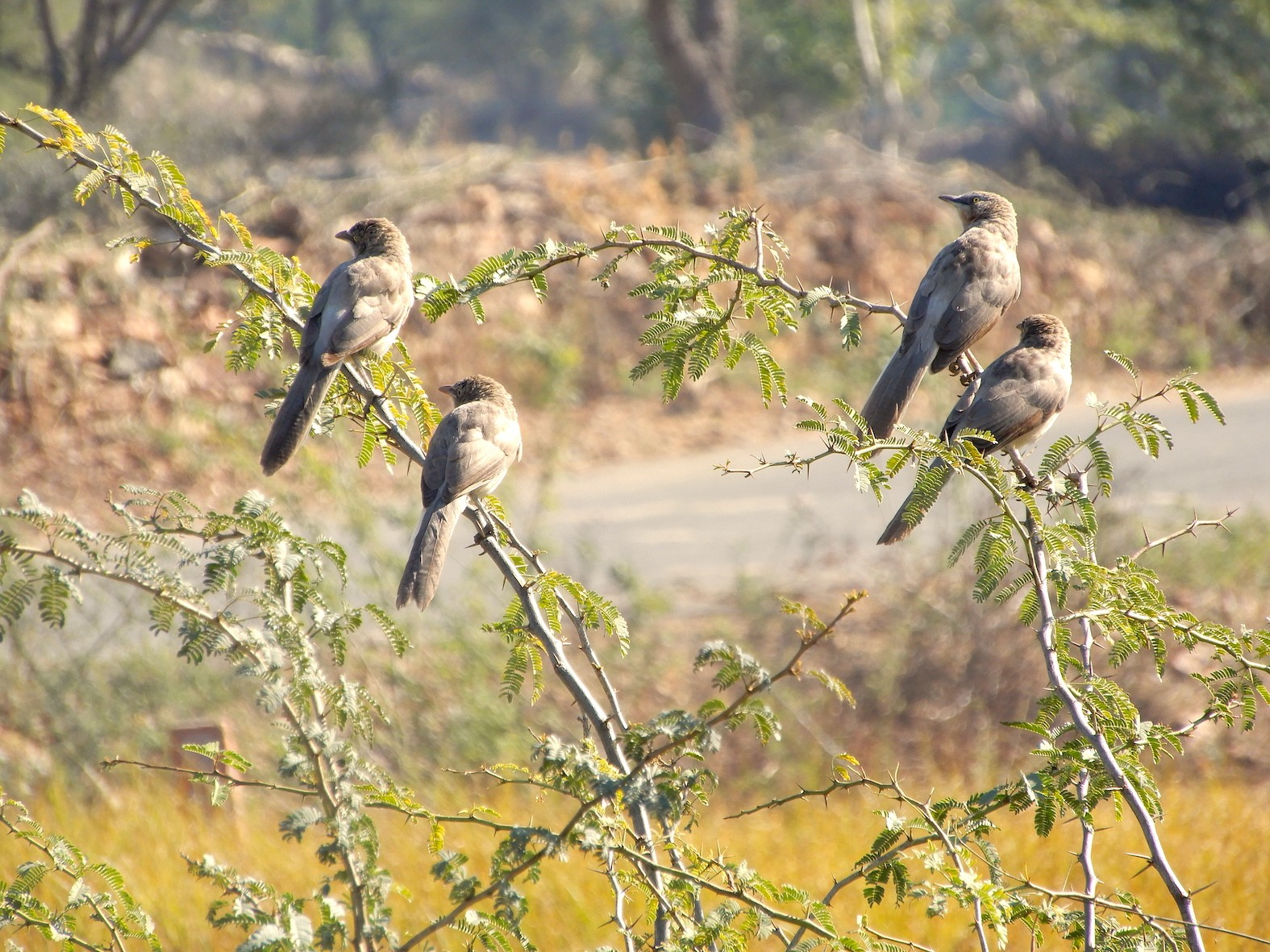 Small flocks of large grey babblers (top) can be seen in open country. These extremely noisy, gregarious birds forage close to the ground. Photo: Anirudh Nair