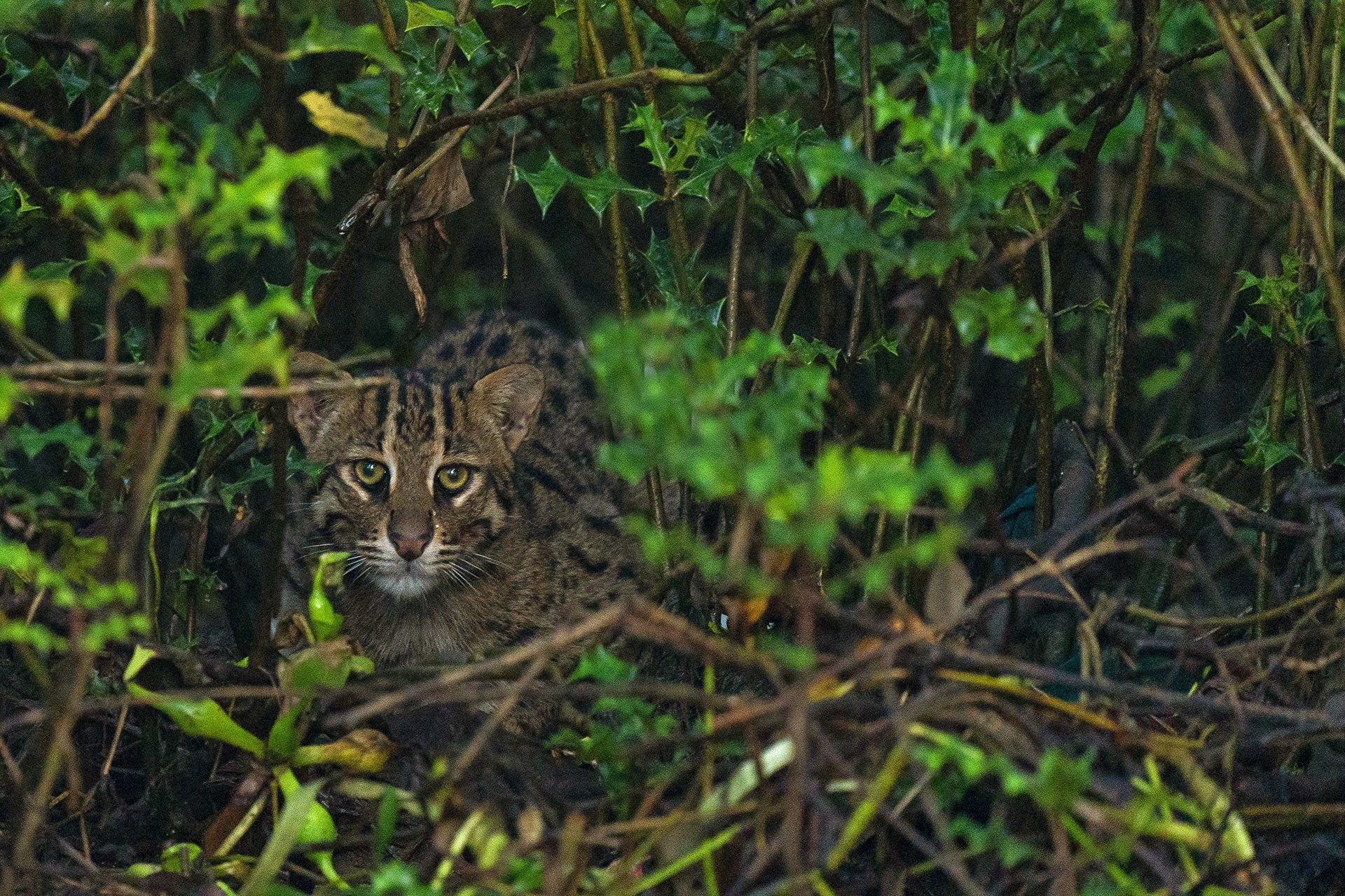 Fishing cats are considered an 'indicator species' i.e. their presence or absence indicates the quality of the ecosystem they inhabit. They are believed to have a lifespan of about 12-15 years.