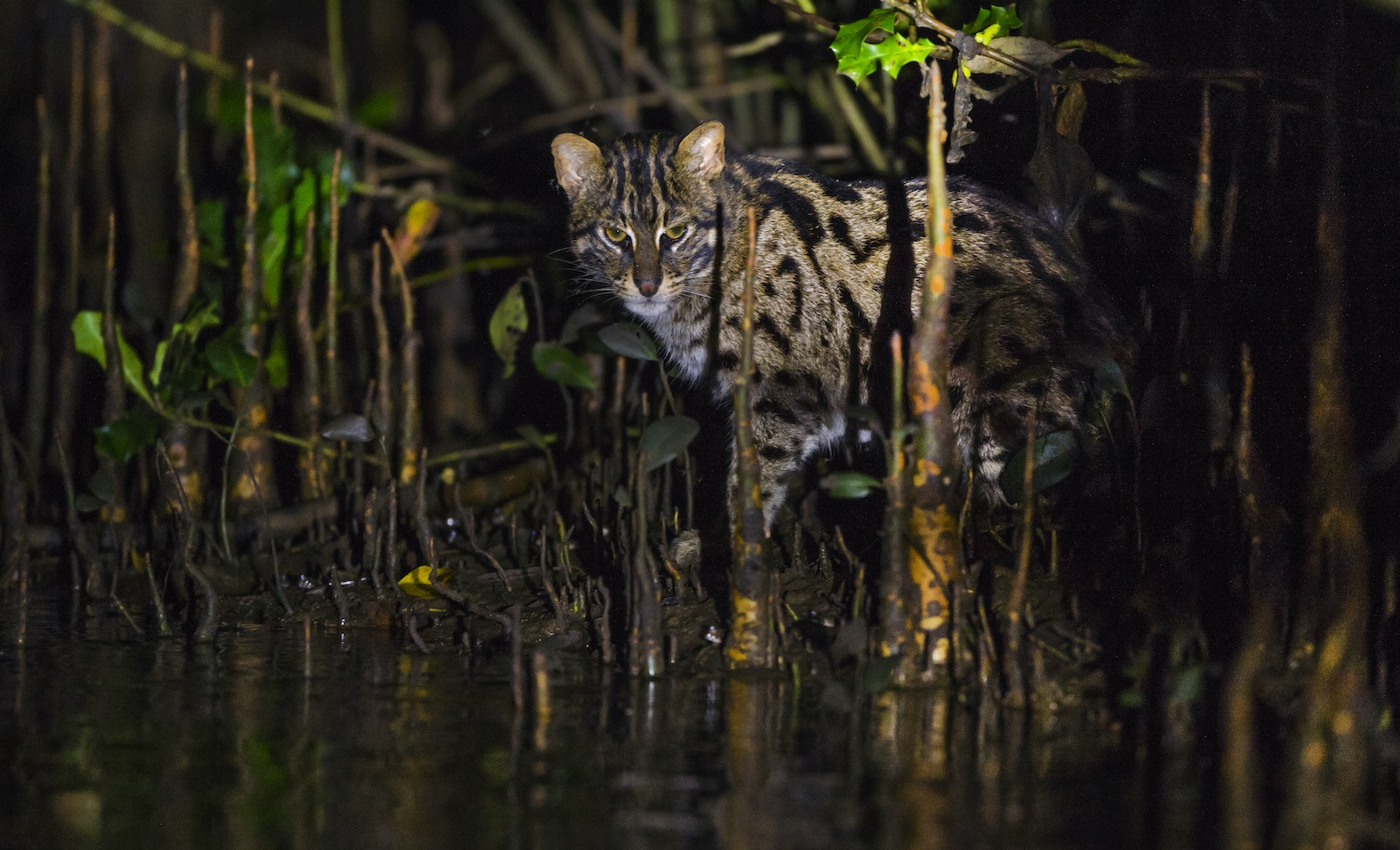 Uniquely adapted to a semi-aquatic life, the fishing cat has a dense layer of packed coat of hair against the skin which prevents water from touching the skin, keeping it warm even in chilly water.