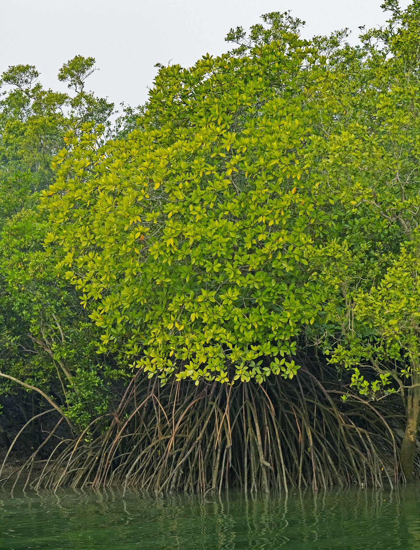 """The garjan is a mangrove on stilts. Its long, umbrella-shaped stilt roots provide a broad, solid base, often wider than the tree-top, helping keep it stable in the face of harsh tides and loose sand. Photo: Dhritiman Mukherjee  Goran or Ceriops decandra is supported by a network of roots that spreads horizontally below the surface. At irregular intervals they stick out and then loop back into the soil, resembling wobbly, mangled knees. These aerial """"knee roots"""" help the entire underground root system breathe. Cover photo: Dhritiman Mukherjee"""