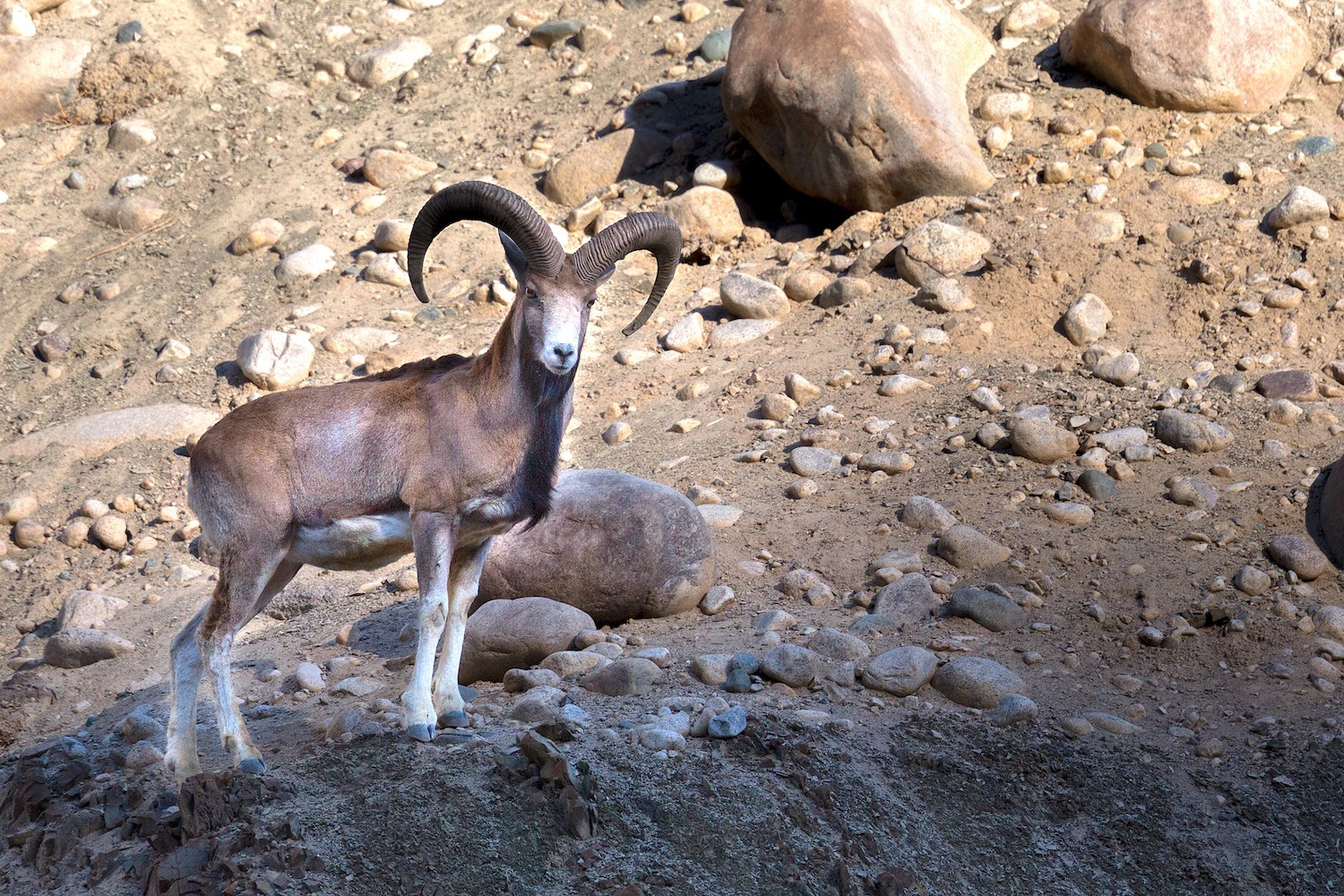 Urial rams have impressive horns that allow them to assert dominance over other males and impress females. Photo: Arindam Bhattacharya  A mixed herd of the beautiful wild sheep, Ladakh urial. Cover Photo: Dhritiman Mukherjee