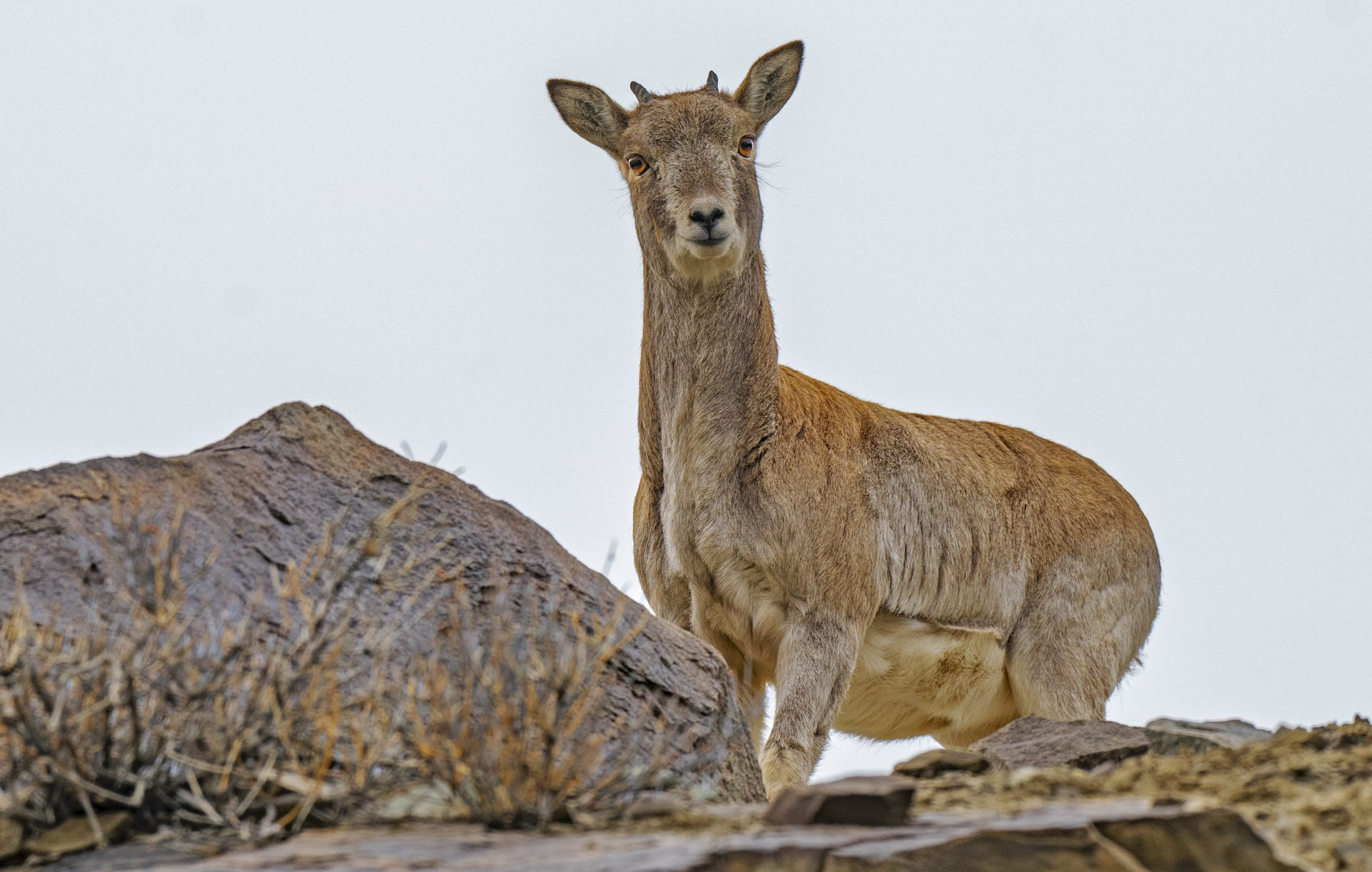 An alert female Ladakh urial looks on. Females tend to be more skittish as they have the added responsibility of ensuring the safety of their offspring. Photo: Dhritiman Mukherjee
