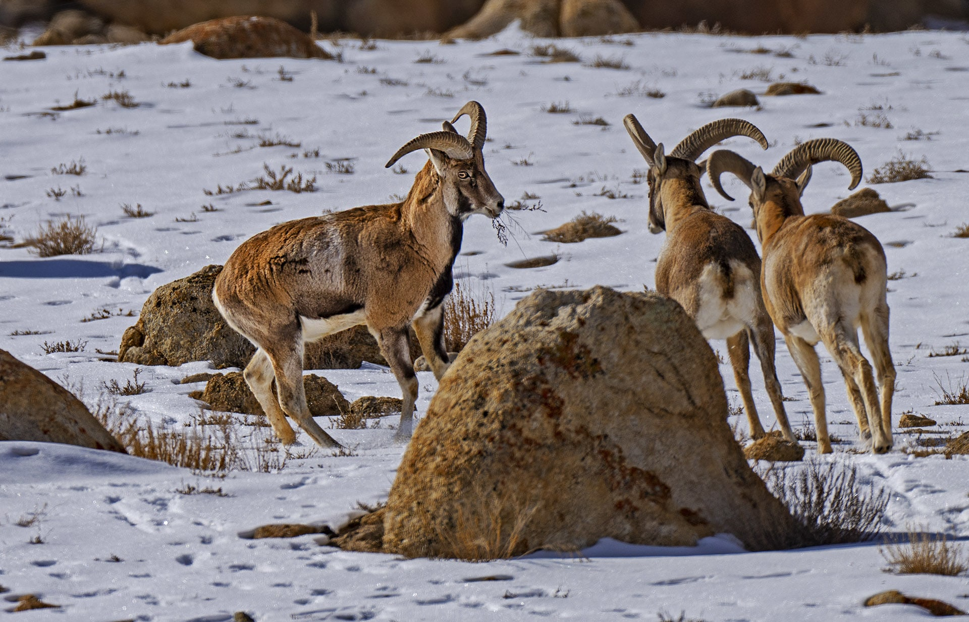 During winter urial move to relatively lower altitudes, presumably for better access to forage. Relatively warmer temperatures lower down might also help them with thermoregulation.  Photo: Dhritiman Mukherjee