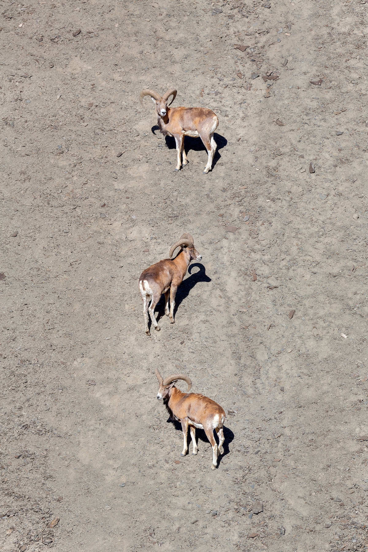 """This """"bachelor herd"""" herd of Ladakh urial are on a steep slope. Adult males tend to segregate away from the females during summer.  Photo: Arindam Bhattacharya"""