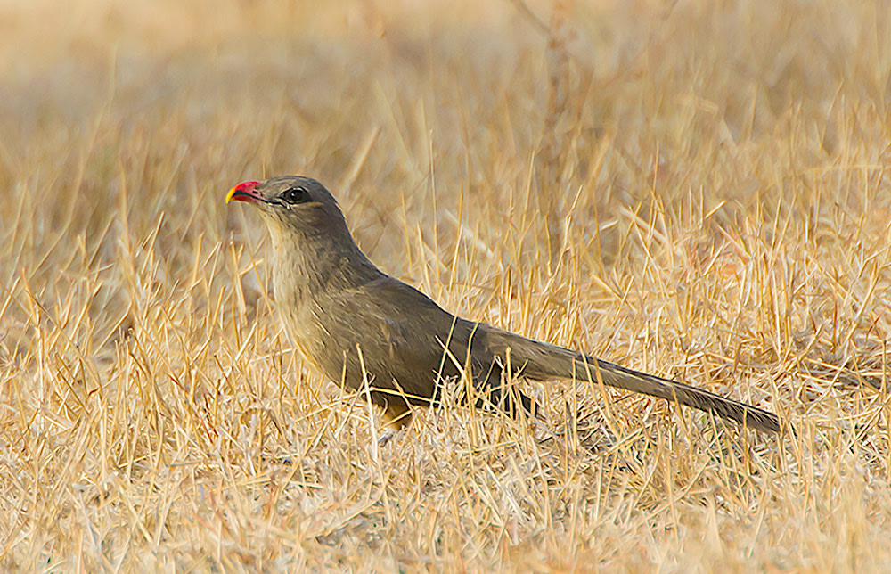 The sirkeer malkoha is a member of the cuckoo family and is easily recognised by its hooked red beak that ends in a yellow tip. It forages for insects, caterpillars on the ground in scrubs and grasses of a dry forest. Photo: Ramuktihor CC BY-SA 3.0