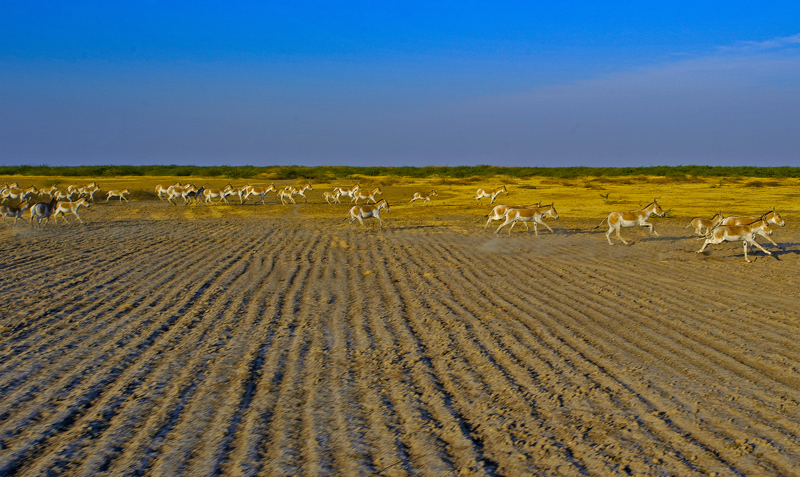 The colouration of the Indian wild ass might not provide perfect camouflage, but it helps them blend into the landscape of the Little Rann of Kutch. Photo: Dhritiman Mukherjee  A herd of wild asses in the Little Rann of Kutch can often comprise as many as 30 animals, ranging from newborns to adults. Cover Photo: Dhritiman Mukherjee