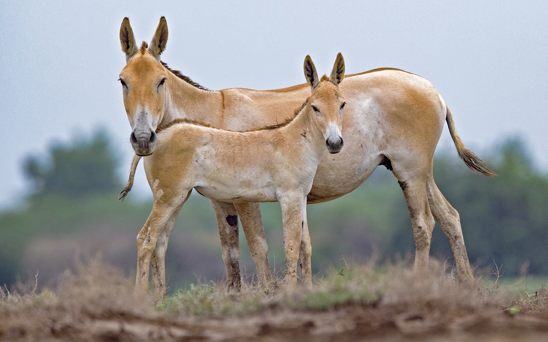 Like most herd animals, wild asses live in tight family units that provide safety in numbers, and helps mothers and foals alike. Photo: Dhritiman Mukherjee