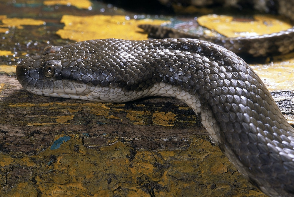 The keels on the snake's scales are believed to help it gain more traction in water and marshy habitats. Photo: RealityImages/Shutterstock  A compressed snout gives the bokadam the appearance of a dog's face, earning it the more popular name dog-faced water snake.