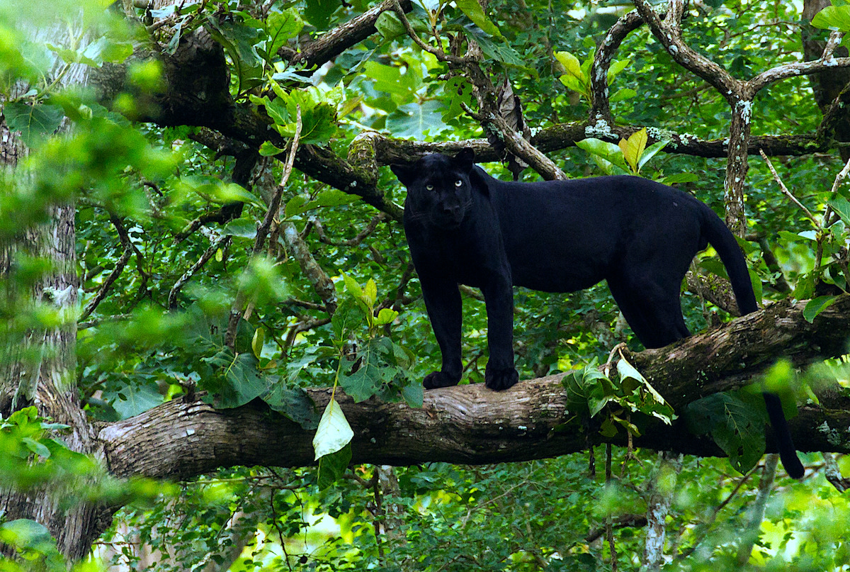 Black leopards, such as this one in Nagarhole National Park, Karnataka, have often been spotted in India. Photo: Davidvraju - CC BY-SA 4.0
