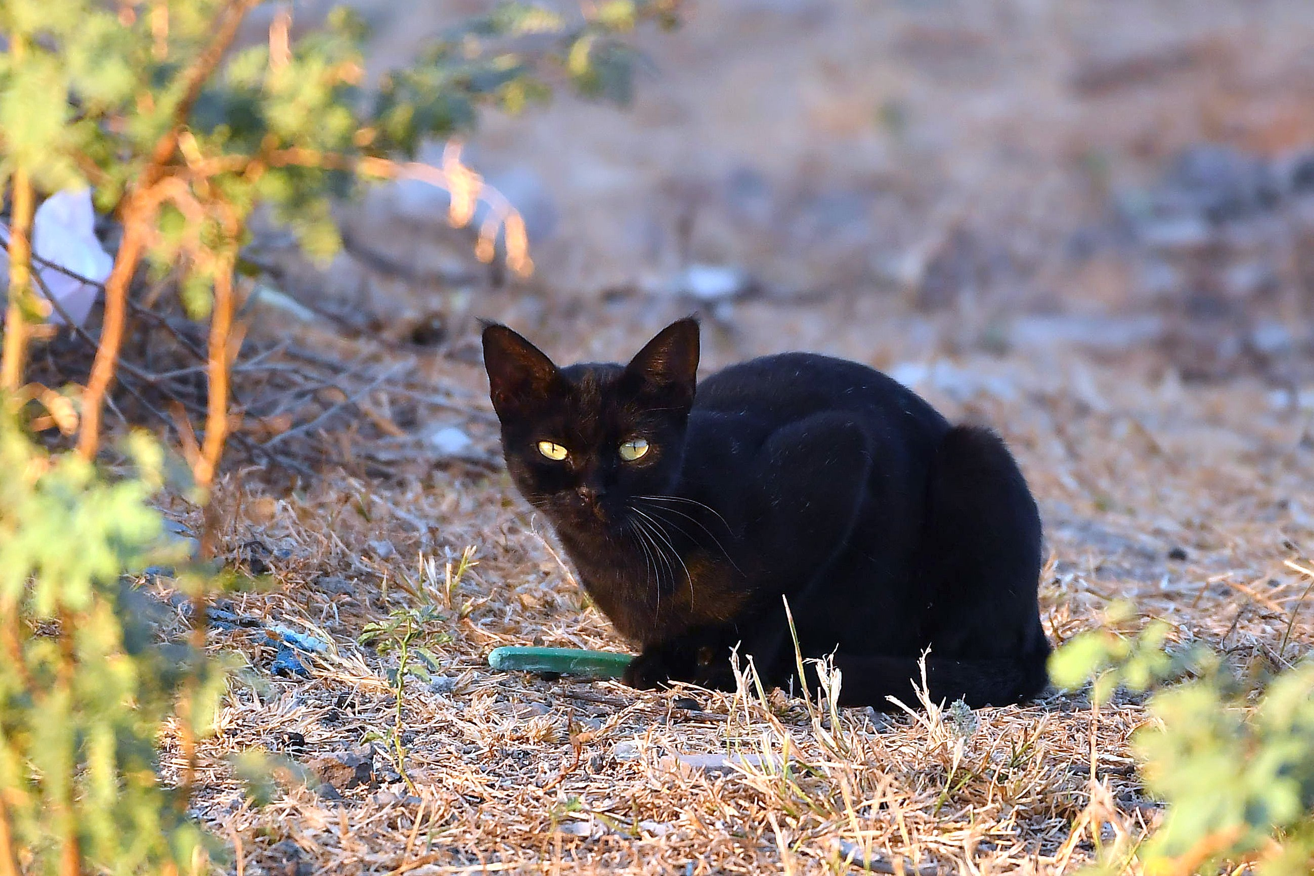 Many species of wild cats, such as this jungle cat seen near Jamnagar, Gujarat, have a dark morph. Photo: Urmil Jhaveri  Black cats go out and about their lives during the day unlike their spotted siblings Cover photo: Dheerajmnanda CC BY-SA 4.0