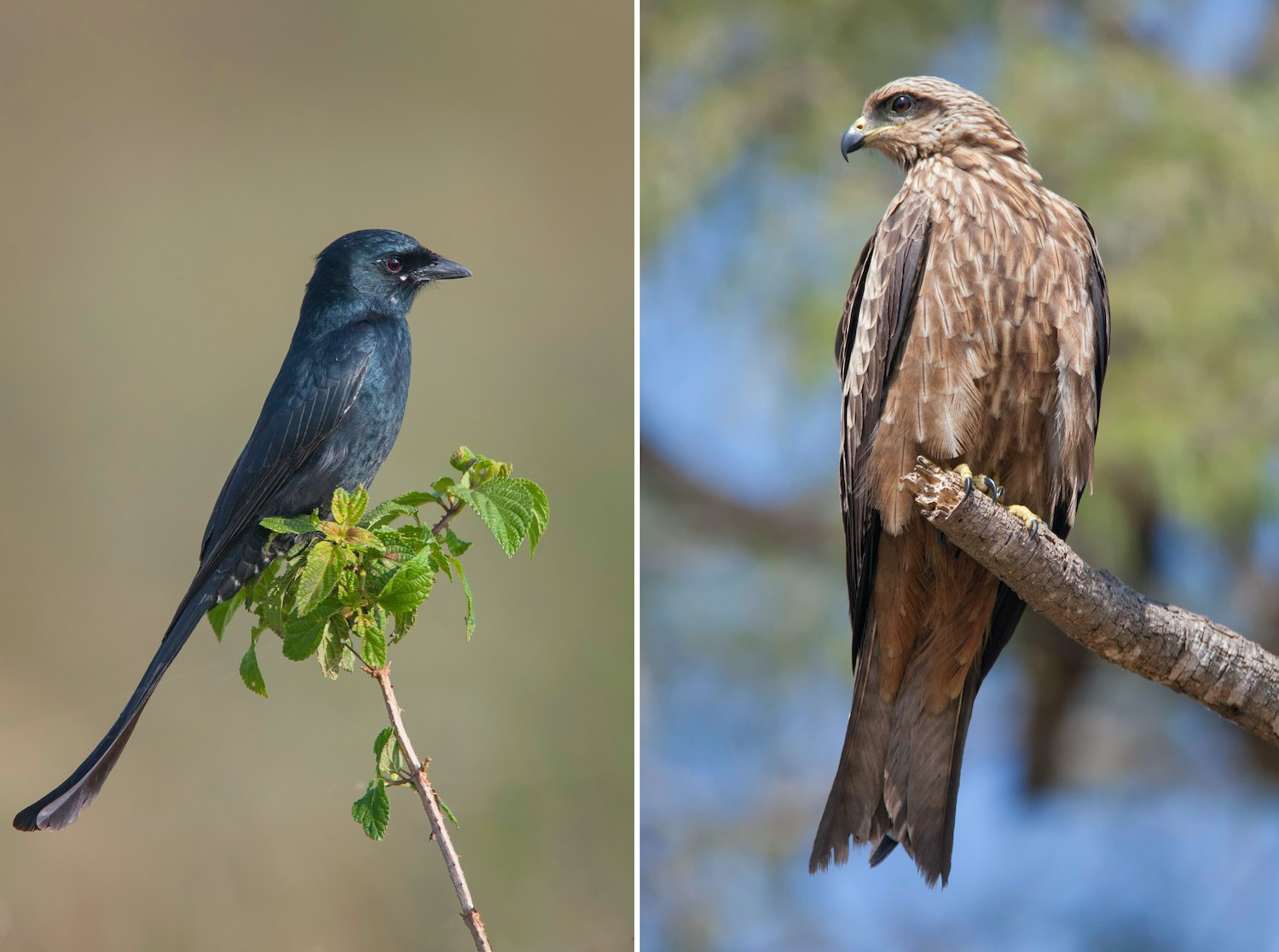 Hesaraghatta Lake is one of Bengaluru's top birding hotspots. It attracts photographers in pursuit of picture-perfect moments such as this black drongo (Dicrurus macrocercus) (left) and black kite (Milvus migrans) (right) striking a pose around the lake. Photos: Santanu Banik/Shutterstock