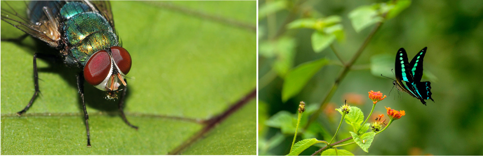The lake harbours all manner of lifeforms. There are smaller winged wonders such as the common blue bottle fly (left) and common jay butterfly (right) that flutter in the vegetation around. 