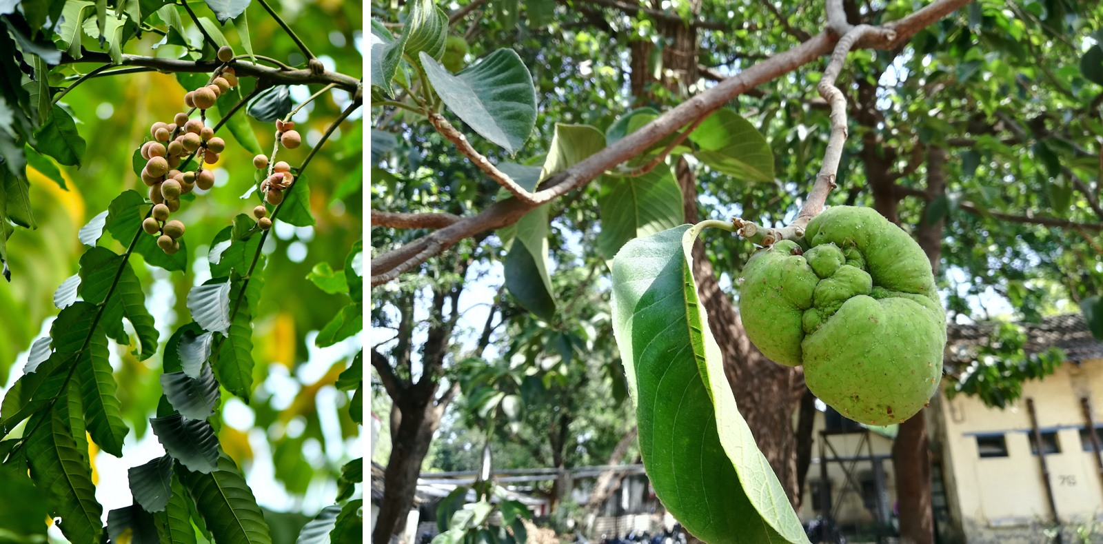 The monkey jack fruit is green when unripe. The sweet and sour ripe fruit, which is yellowish tinged with pink, has many nutritional and medicinal benefits. Photos: mustbeyou/Shutterstock (left) and Snehalata/Shutterstock (right)