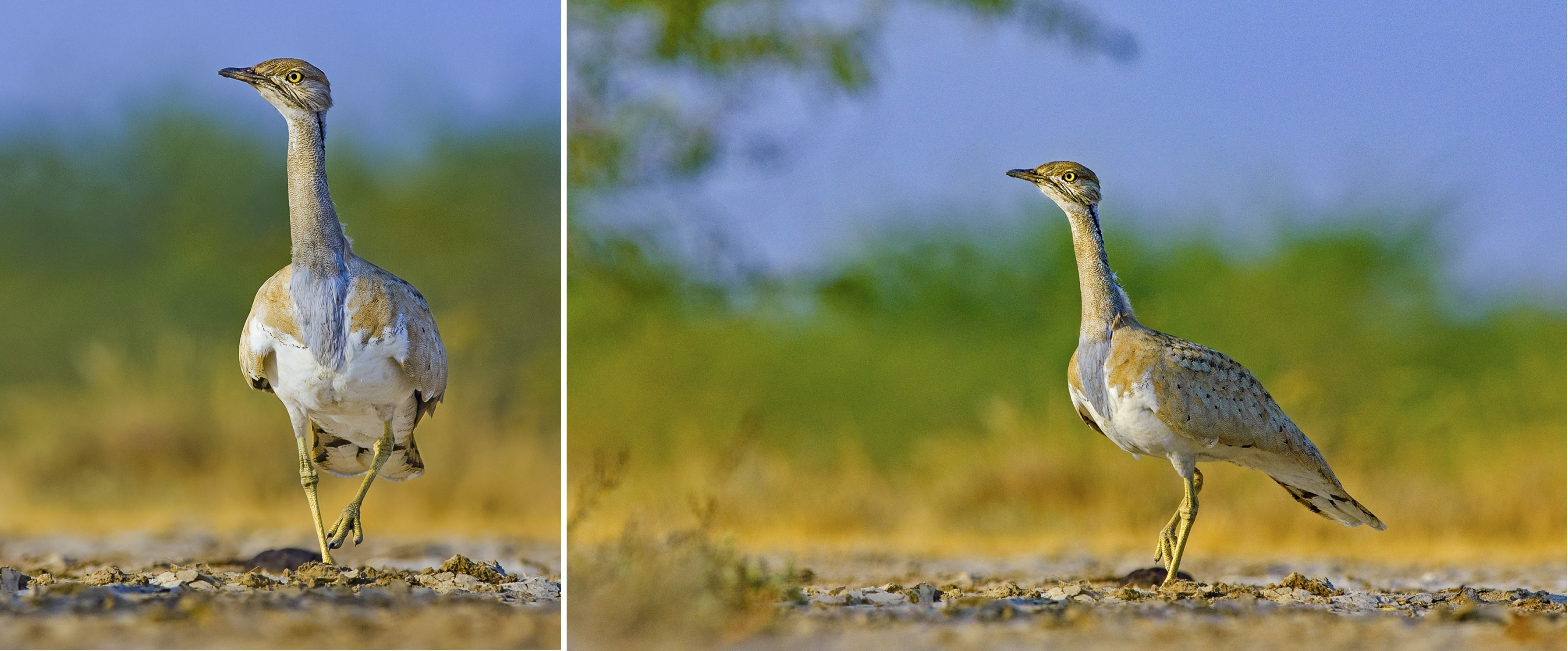 At a glance the MacQueen's bustard looks rather plain, but come mating season, the male, extends its neck and flares its otherwise unnoticeable neck feathers, to look like a fluffy collar, and struts around the landscape. Photos: Dhritiman Mukherjee  The MacQueen's bustard travels to India to breed in semi-arid deserts, especially in dry grasslands with a few scattered shrubs. This bird  was photographed in the Rann of Kutch. Cover photo: Dhritiman Mukherjee