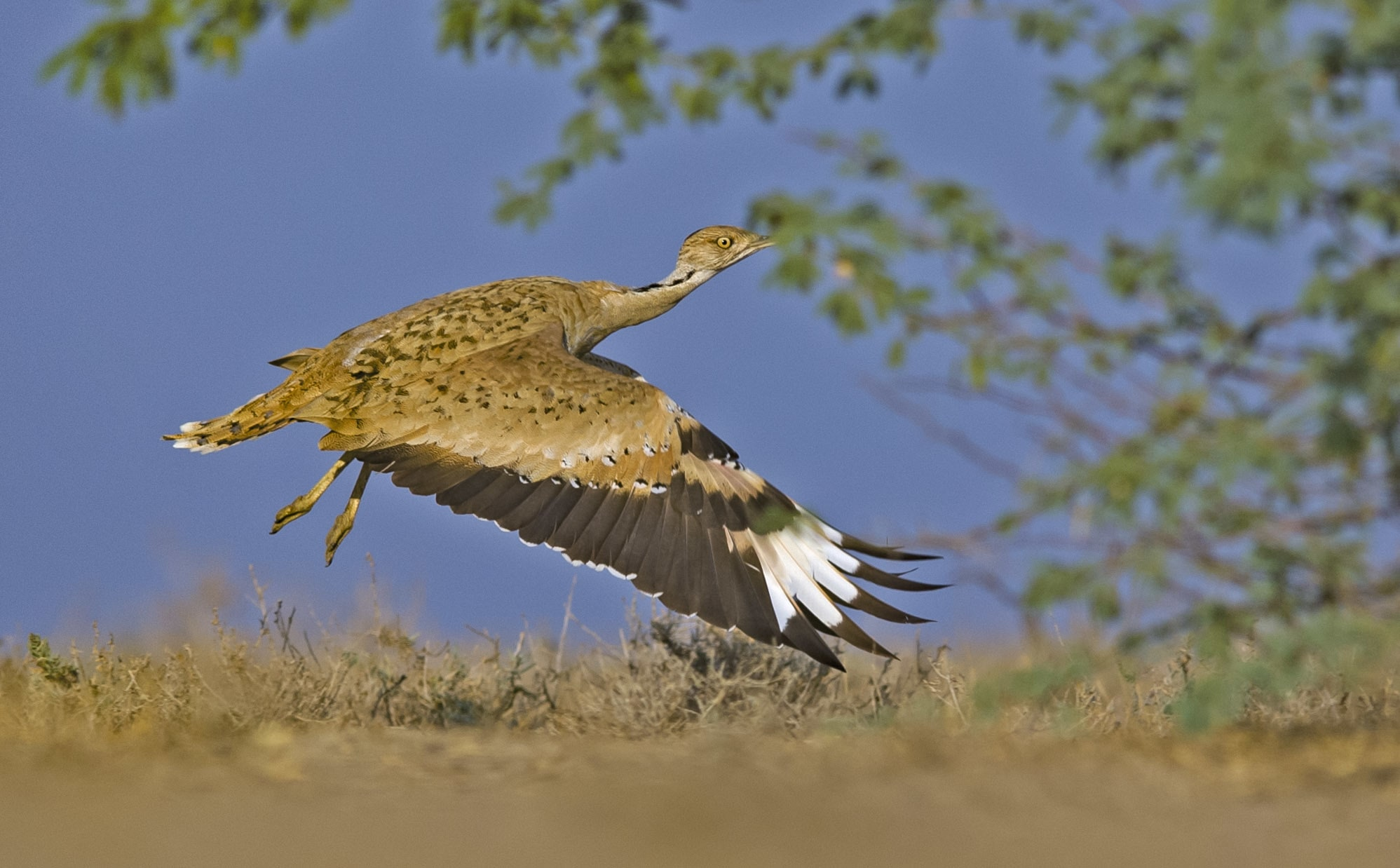 Though the MacQueen's bustard belongs to a family of the heaviest flying birds in the world, once it has settled into a habitat, it flies little, and prefers to walk or run around. Photo: Dhritiman Mukherjee